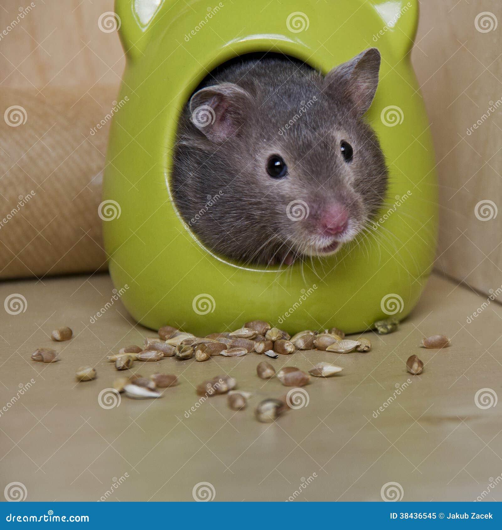 Hamster mignon