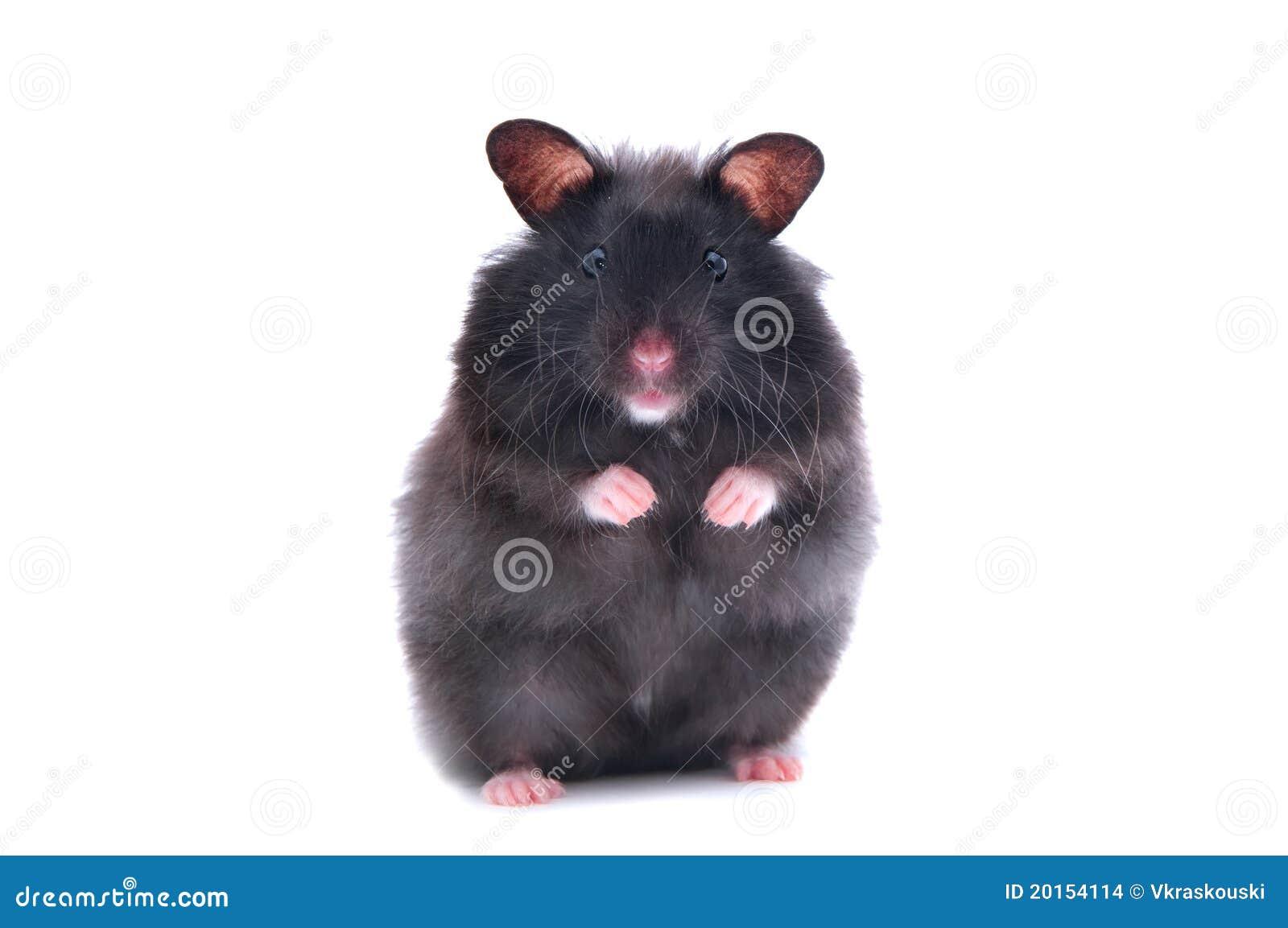 Hamster noir