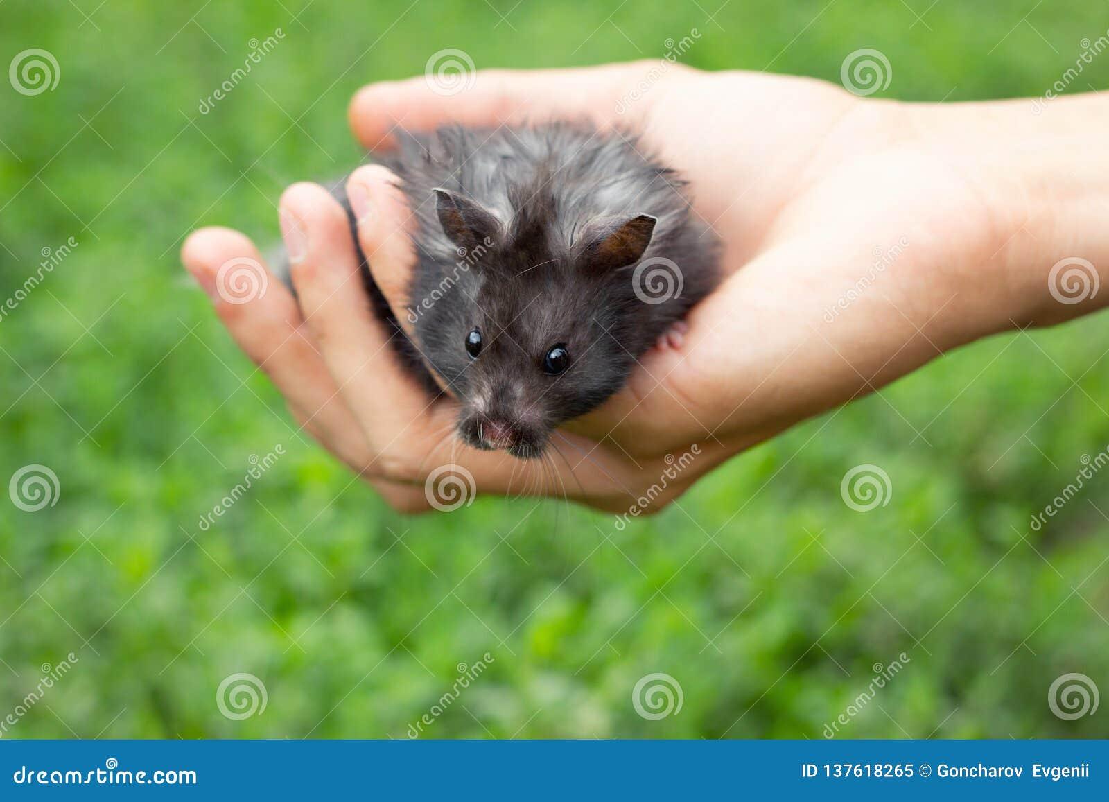 Hamster pelucheux noir à disposition,