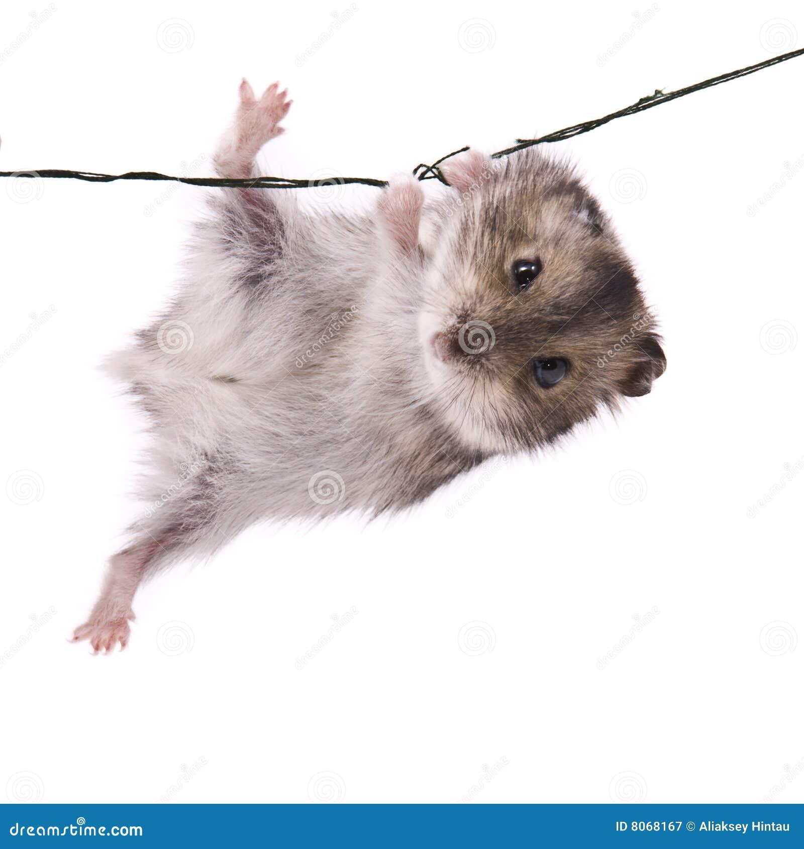 Hamster pequeno do anão