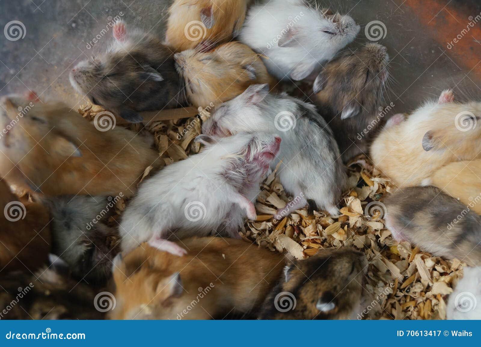 Hamster schlafen stockbild. Bild von rahmen, säugetiere - 70613417