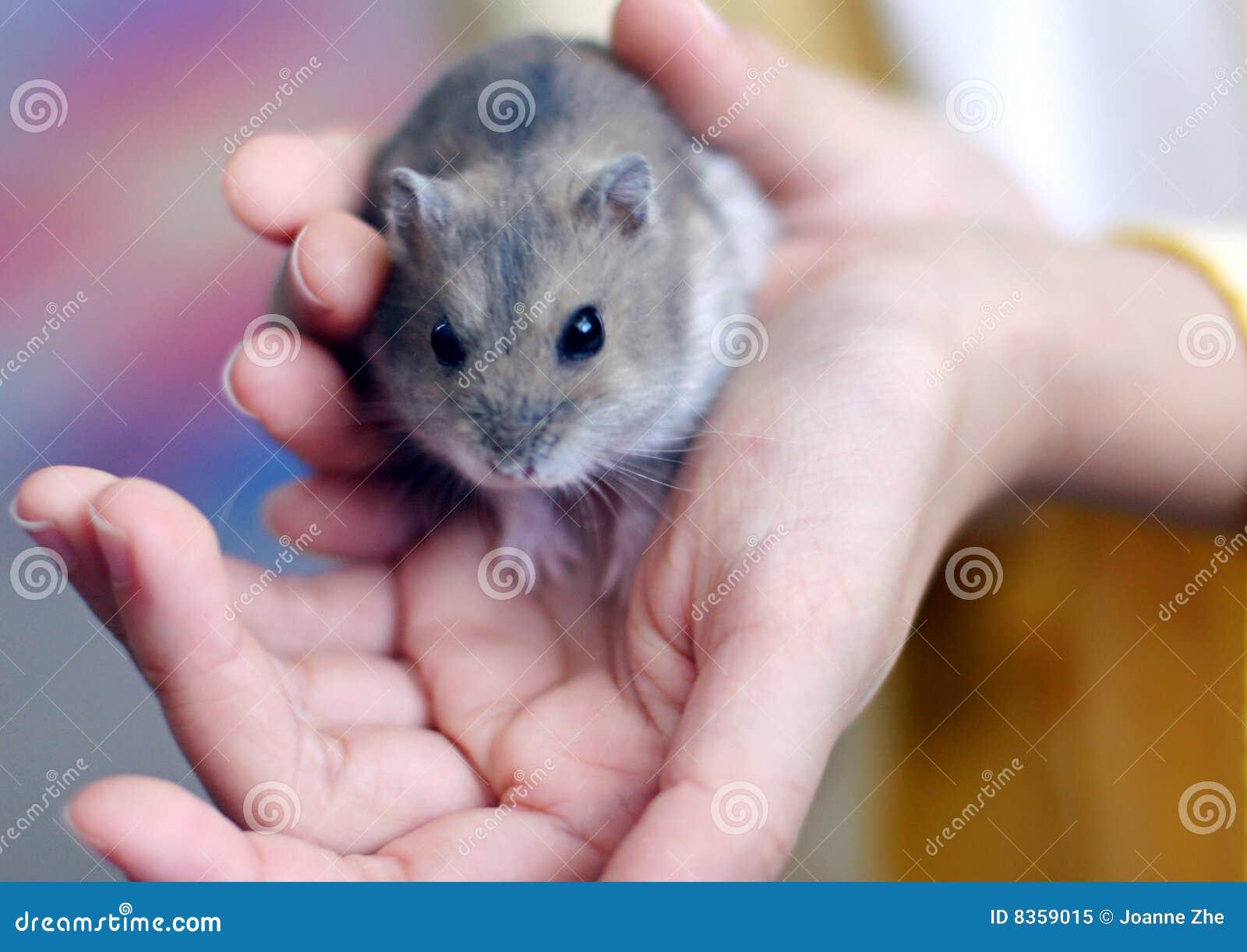 Hamster sur la main de l enfant