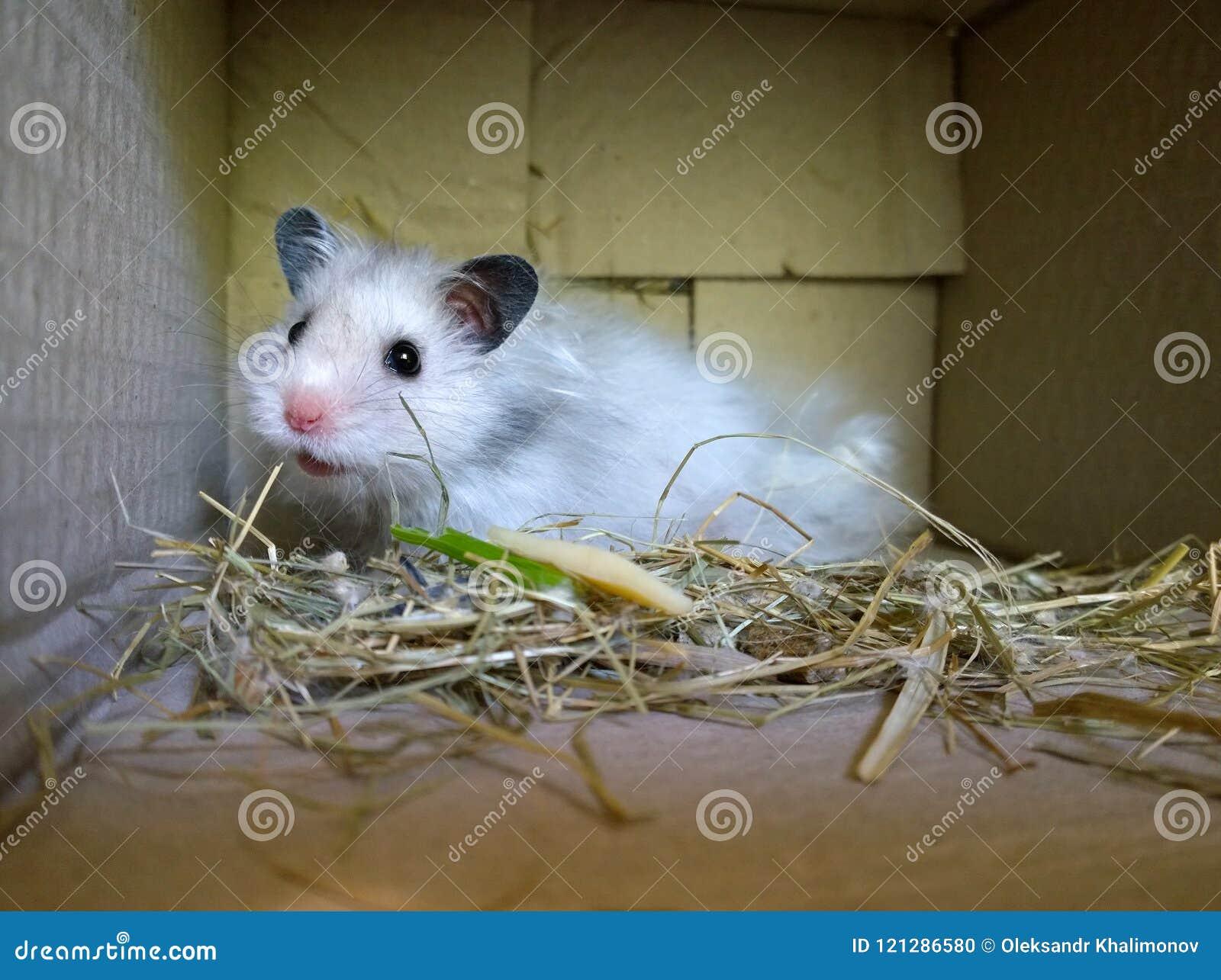 Hamster libre p