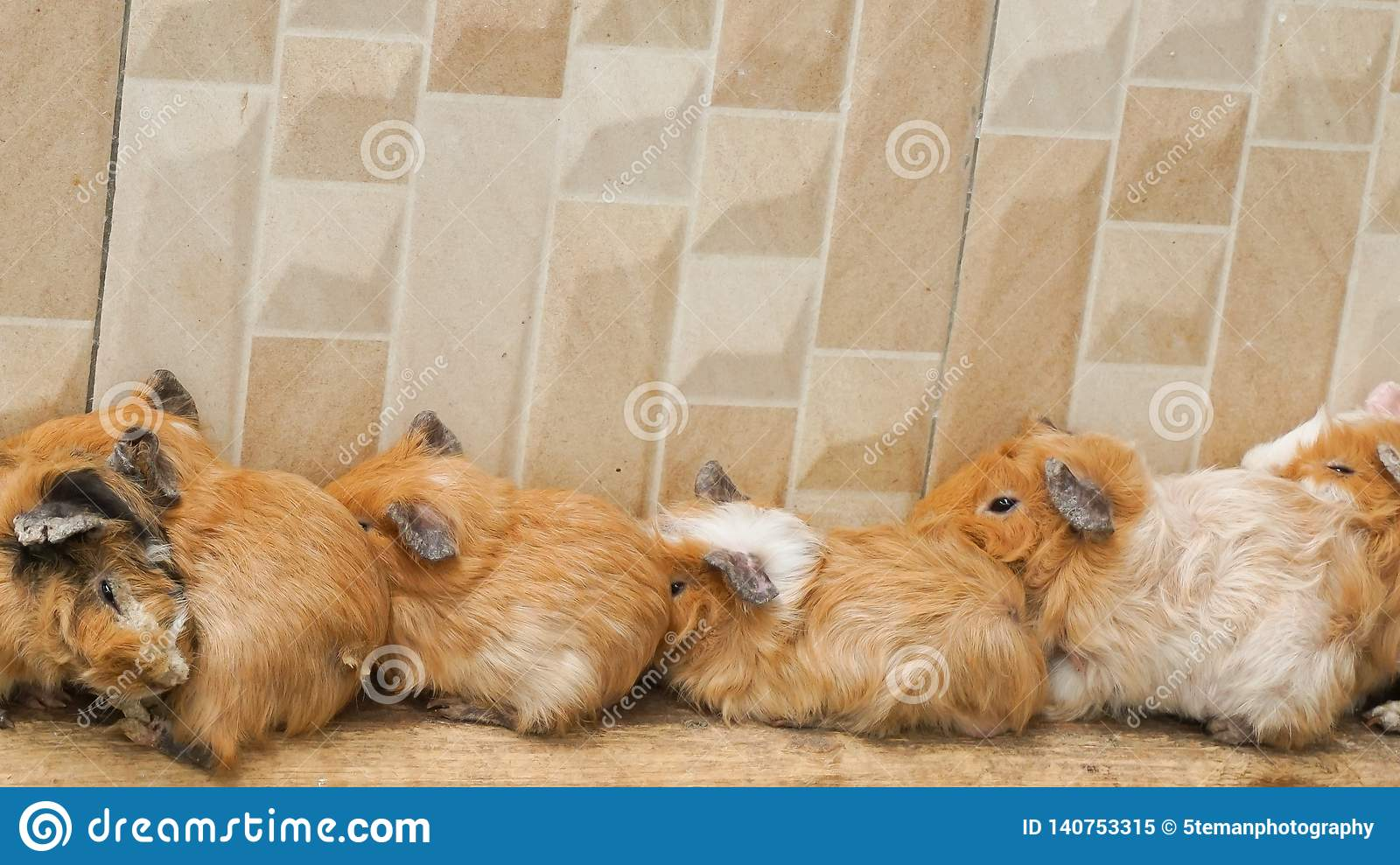 The hamsters are sleeping together near the wall