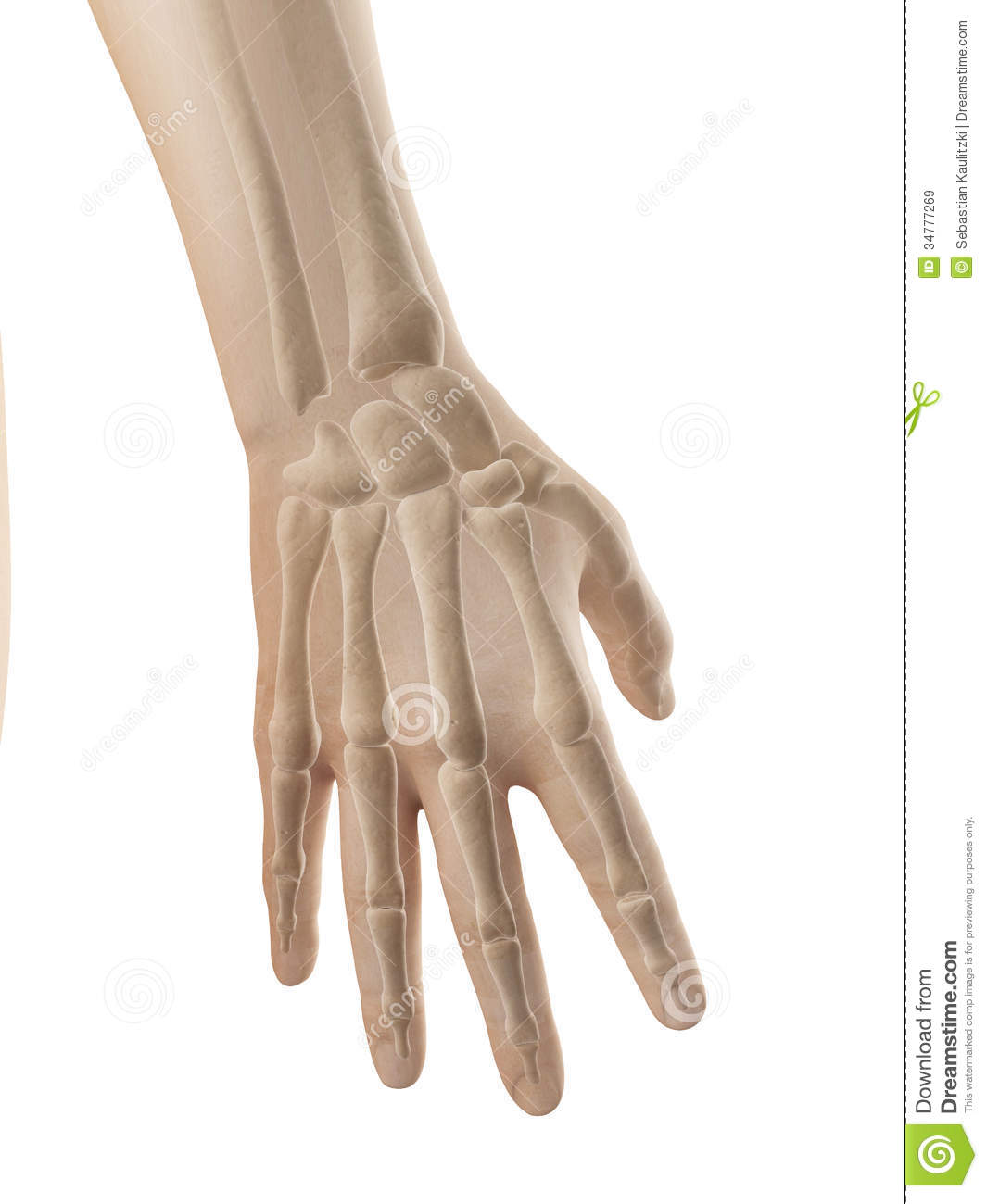 Hand Anatomy - Bones Of Hand And Fingers Stock Illustration ...