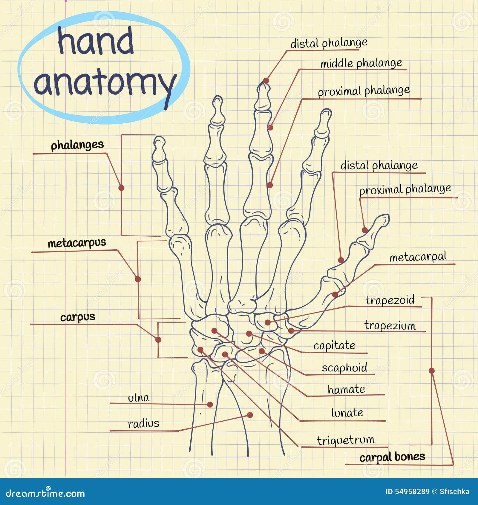 Hand Anatomy Stock Vector Illustration Of Healthcare 54958289