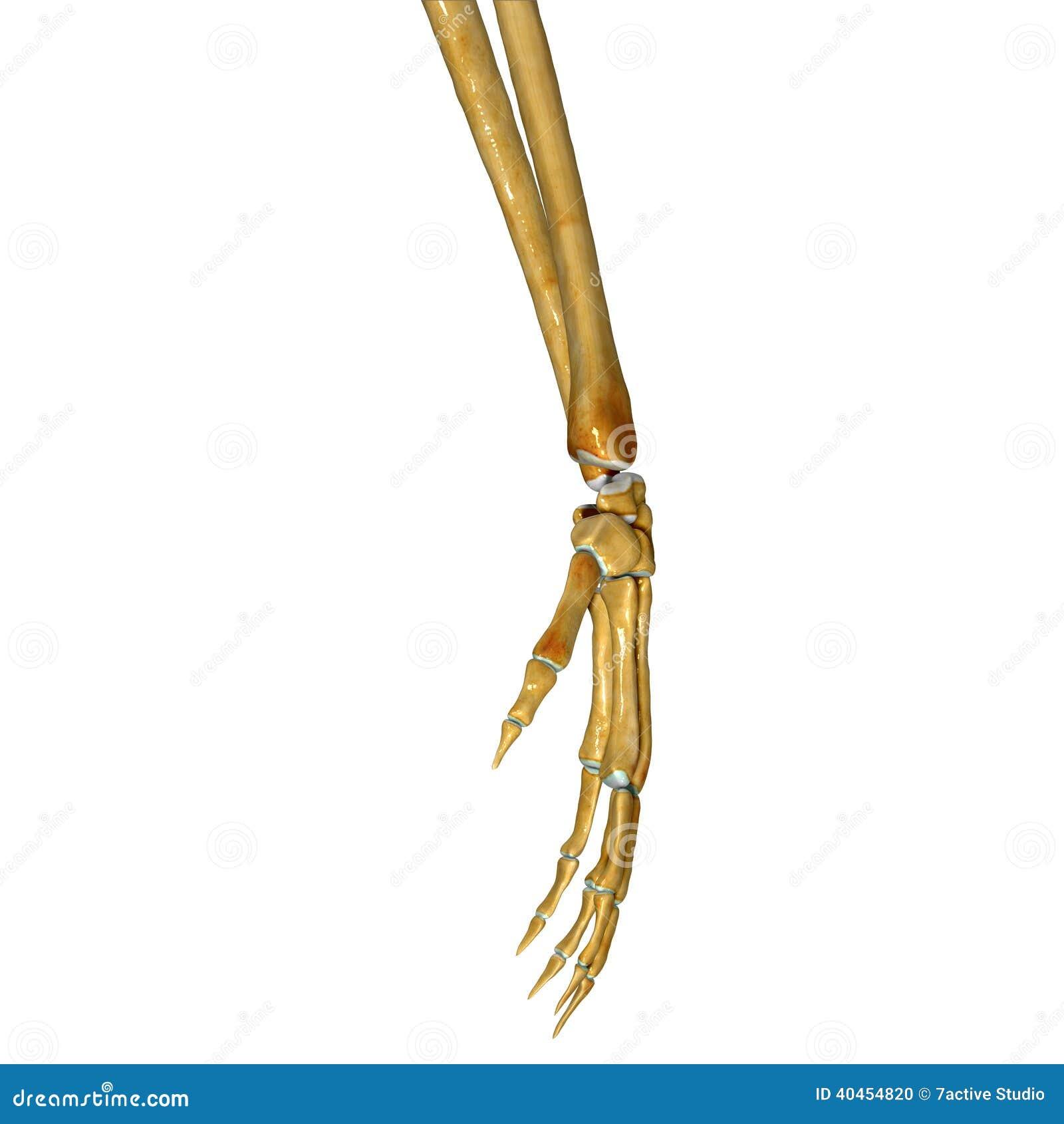 Hand Anatomy Stock Illustration Illustration Of Medical 40454820