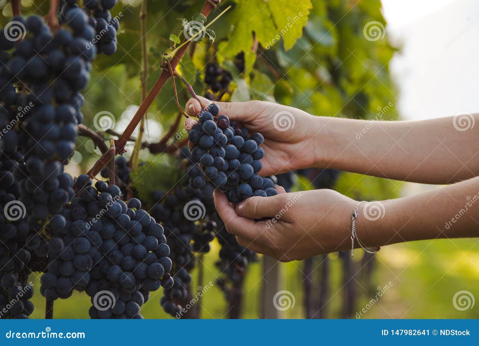 Hand av en ung kvinna som trycker på druvor under skörd i en vingård