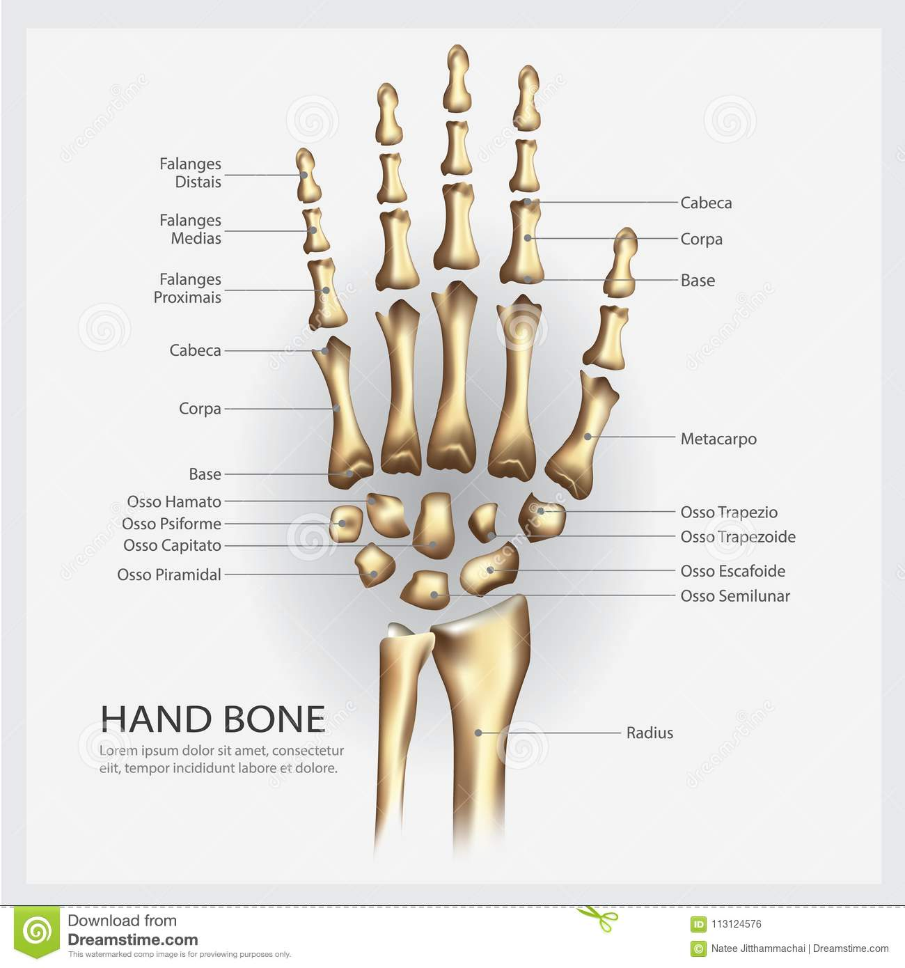 Hand Bone Anatomy With Detail Stock Vector Illustration Of Clinic