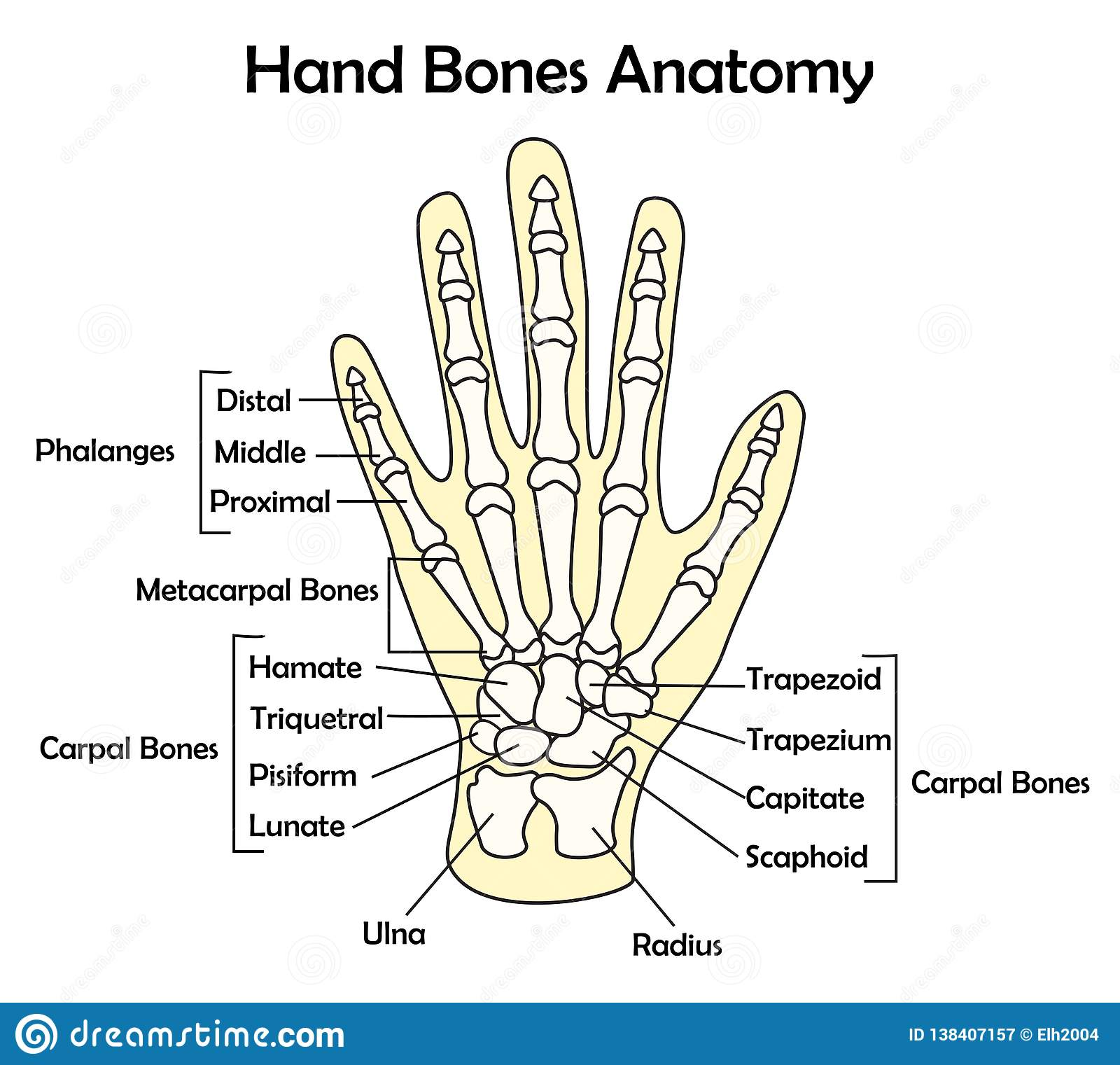 Hand Bone Anatomy With Detail Vector Illustration Stock Vector