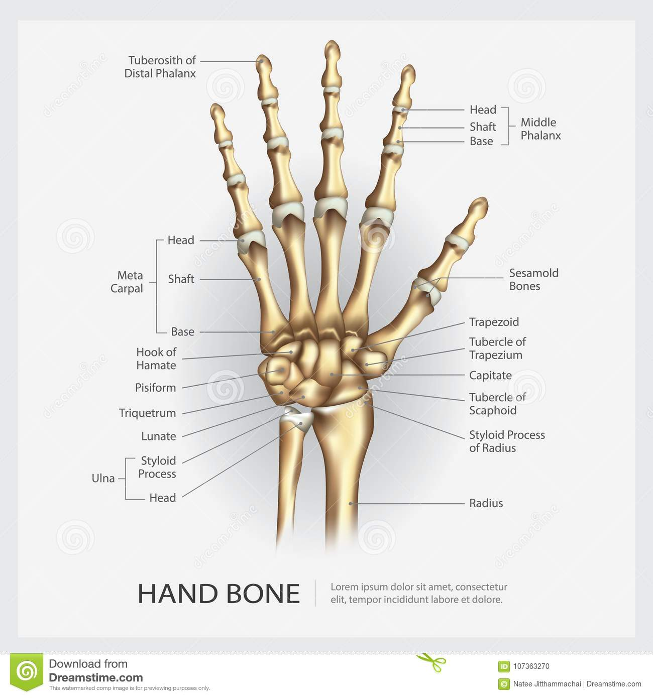 Hand Bone With Detail Stock Vector Illustration Of Human 107363270
