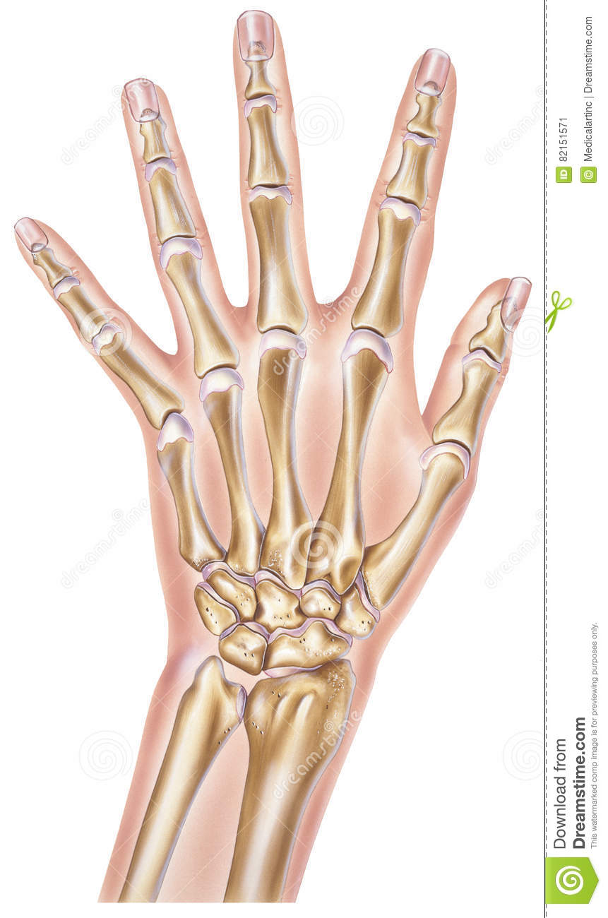 Hand - Bones and Joints stock illustration. Illustration of thumb ...
