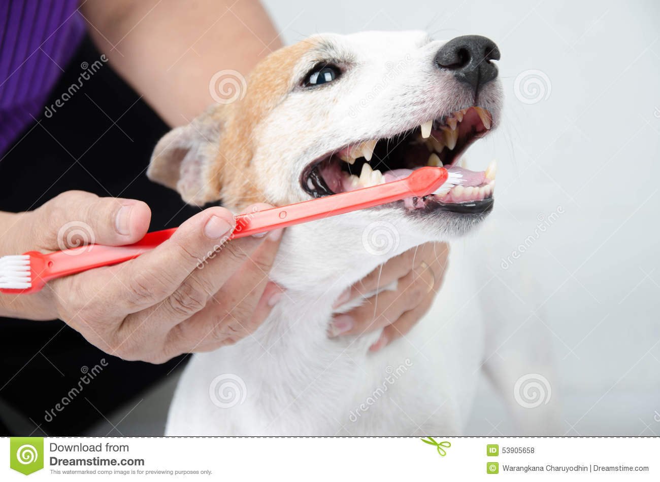 Hand brushing dog s tooth for dental