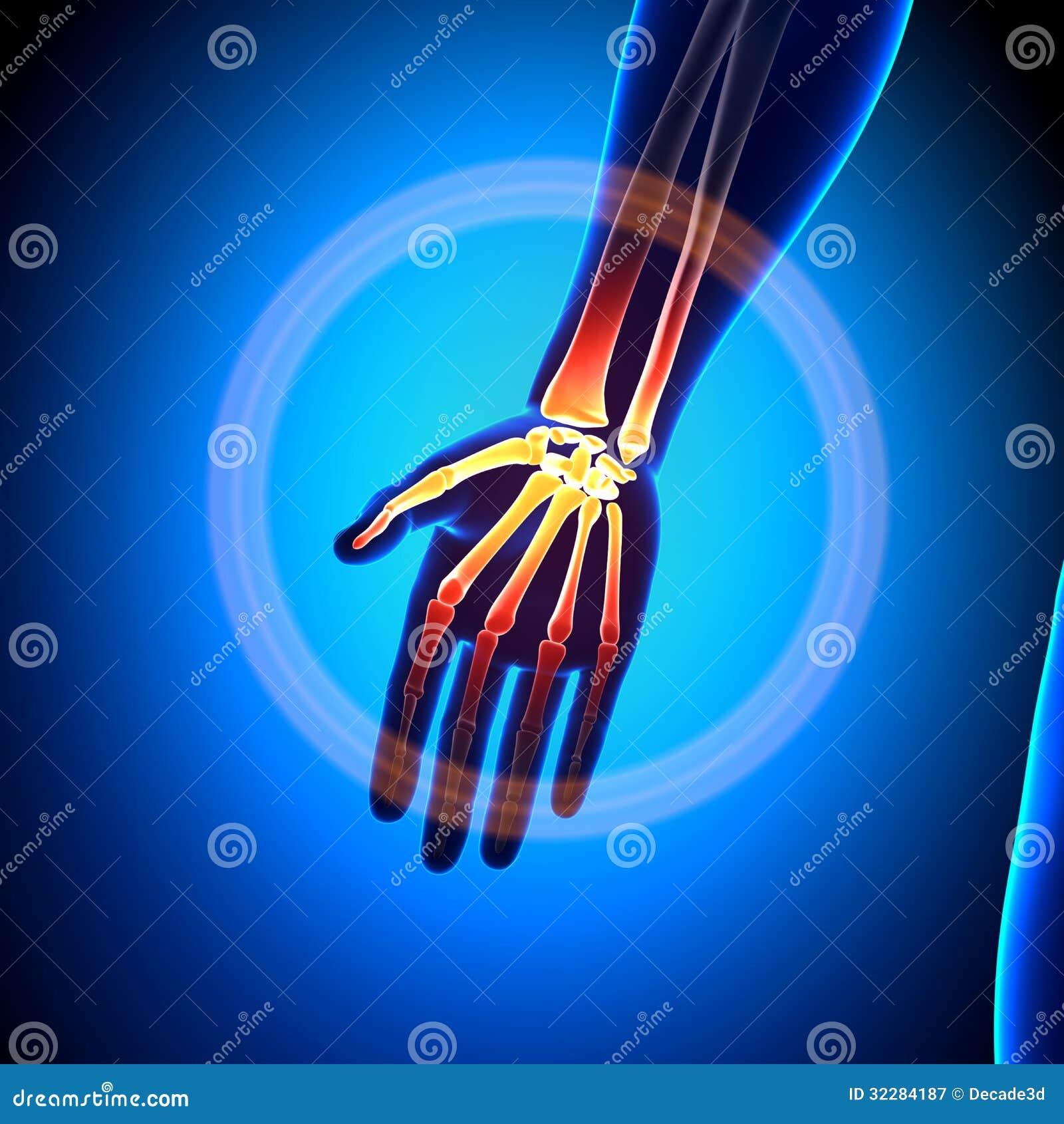 Hand Carpals Metacarpals Phalanges Anatomy Bones Stock