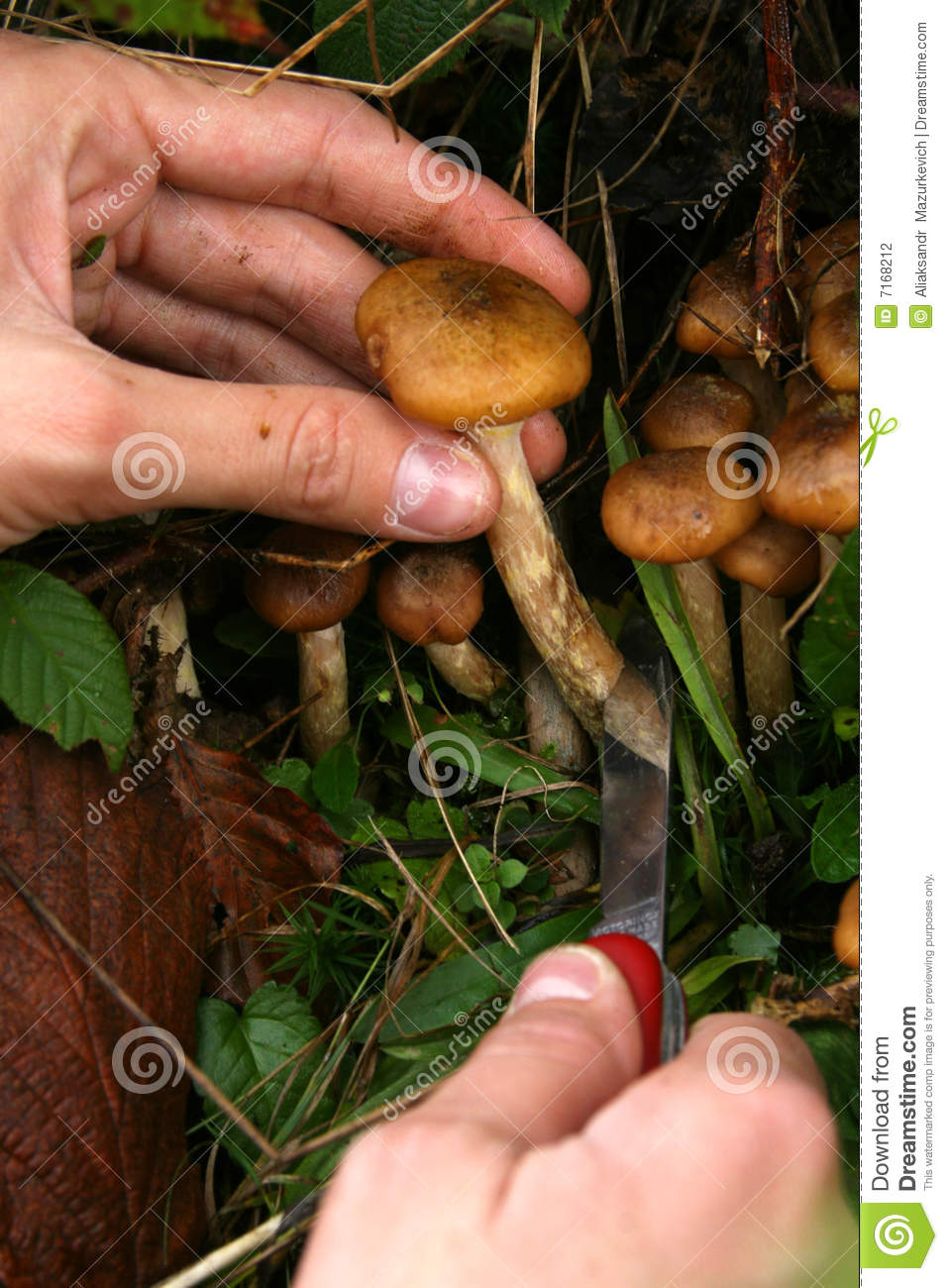 Hand Cut Mushrooms With Knife Stock Photography - Image ...