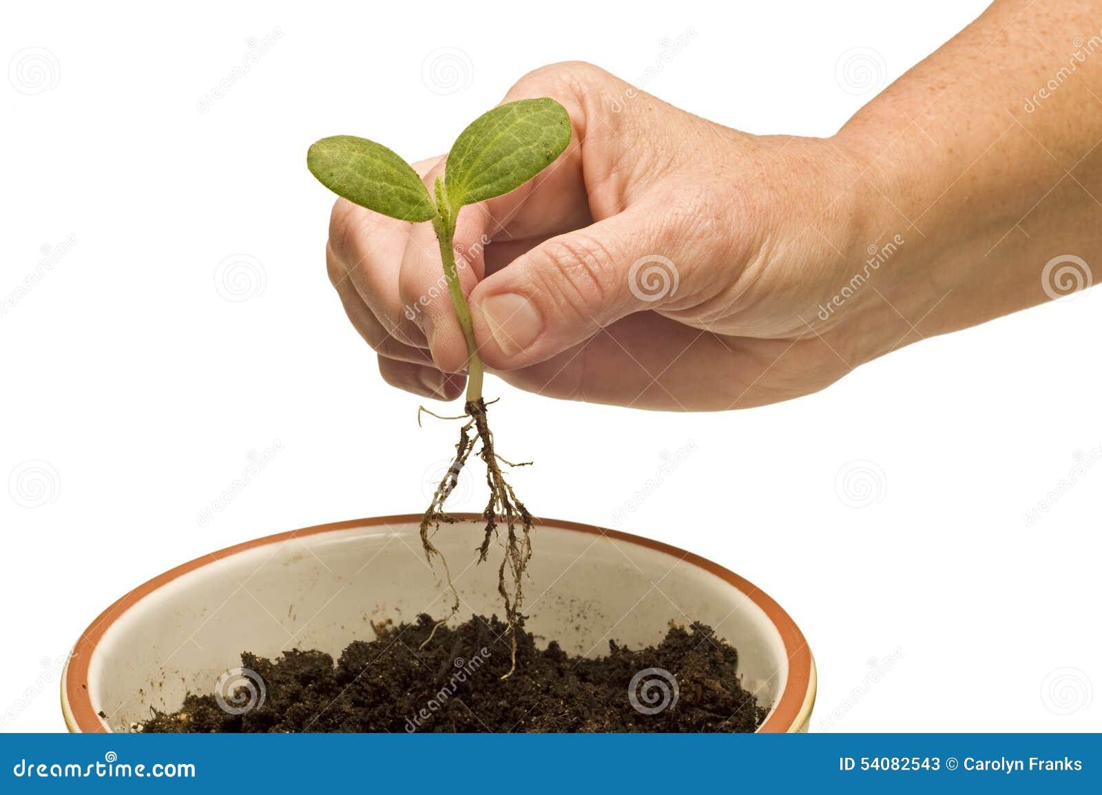Hand die Babyinstallatie planten