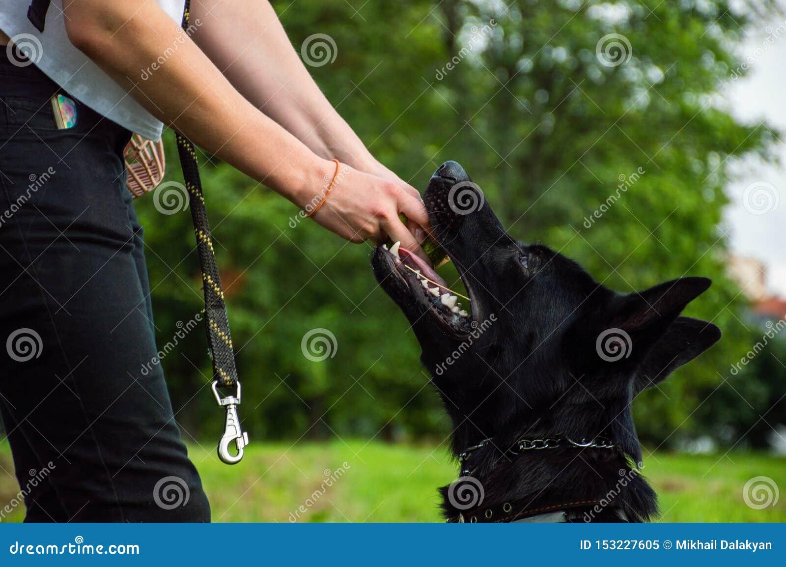 Hand die van anonieme persoon aan het weghalen van tennisbal proberen van leuke hond Duitse herder terwijl het spelen in park op