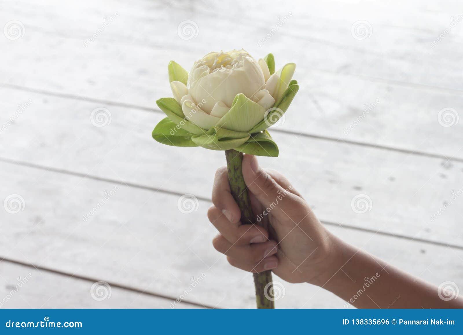Hand die witte lotusbloem houden die de bloemblaadjes vouwen