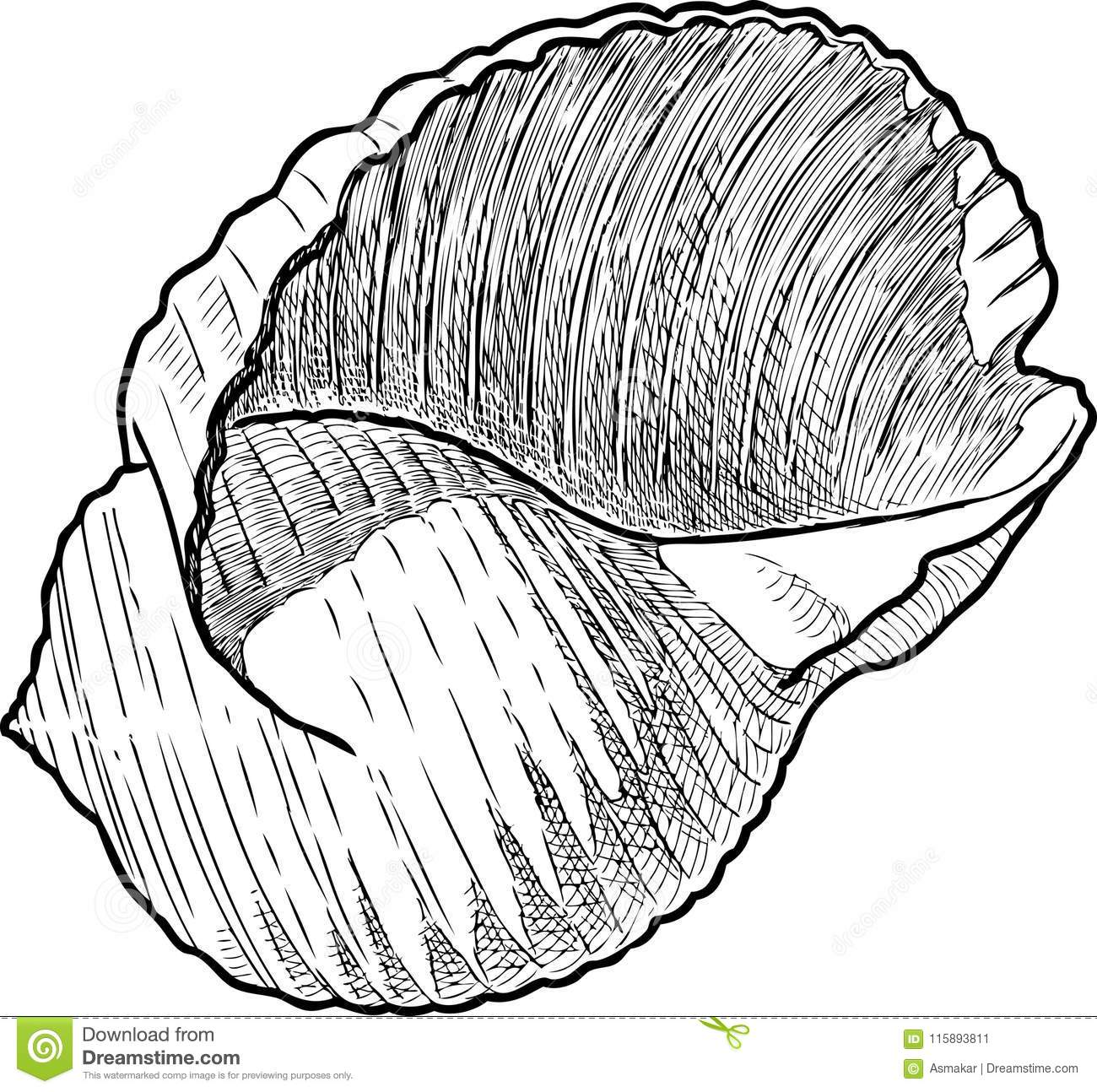 A hand drawing of a seashell