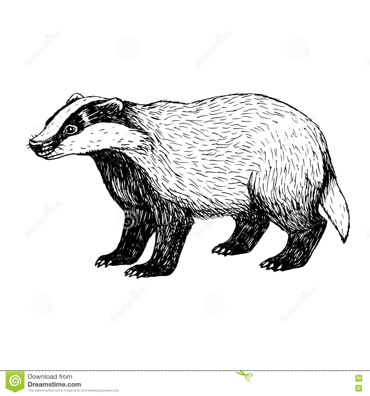 Hand Drawn Badger Vintage Style Stock Vector Image
