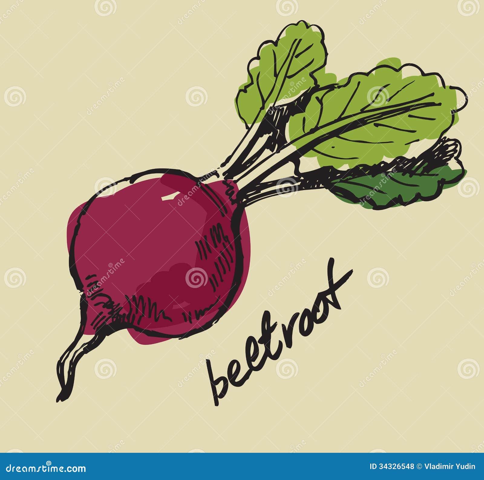 Hand Drawn Beet Stock Vector Illustration Of Gourmet 34326548
