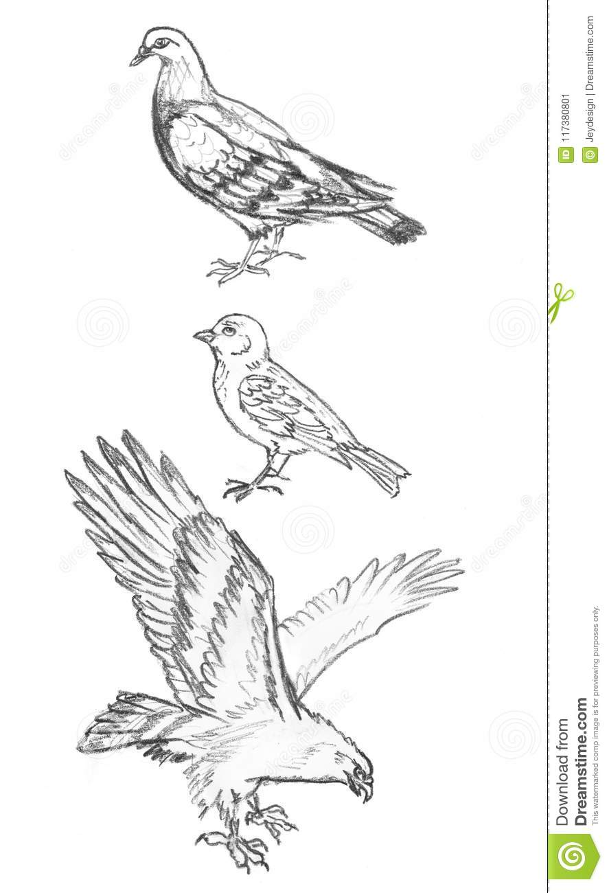 Hand drawn birds isolated on white background pencil drawing pigeon have short legs and small heads on large compact bodies