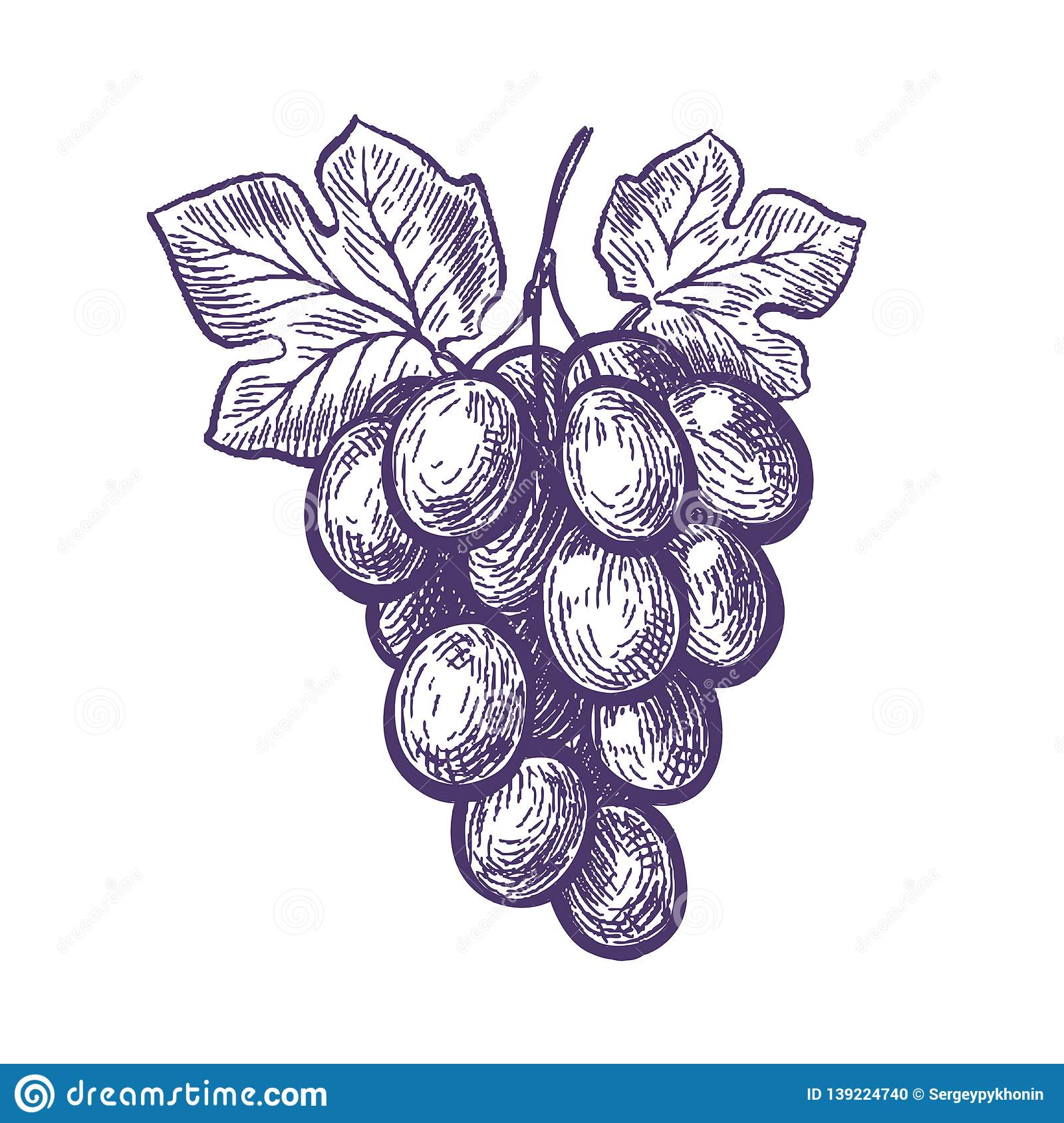 Hand Drawn Bunch Of Grapes Fruit Vineyard Wine Sketch Vintage Vector Illustration Stock Vector Illustration Of Graphic Grapevine 139224740