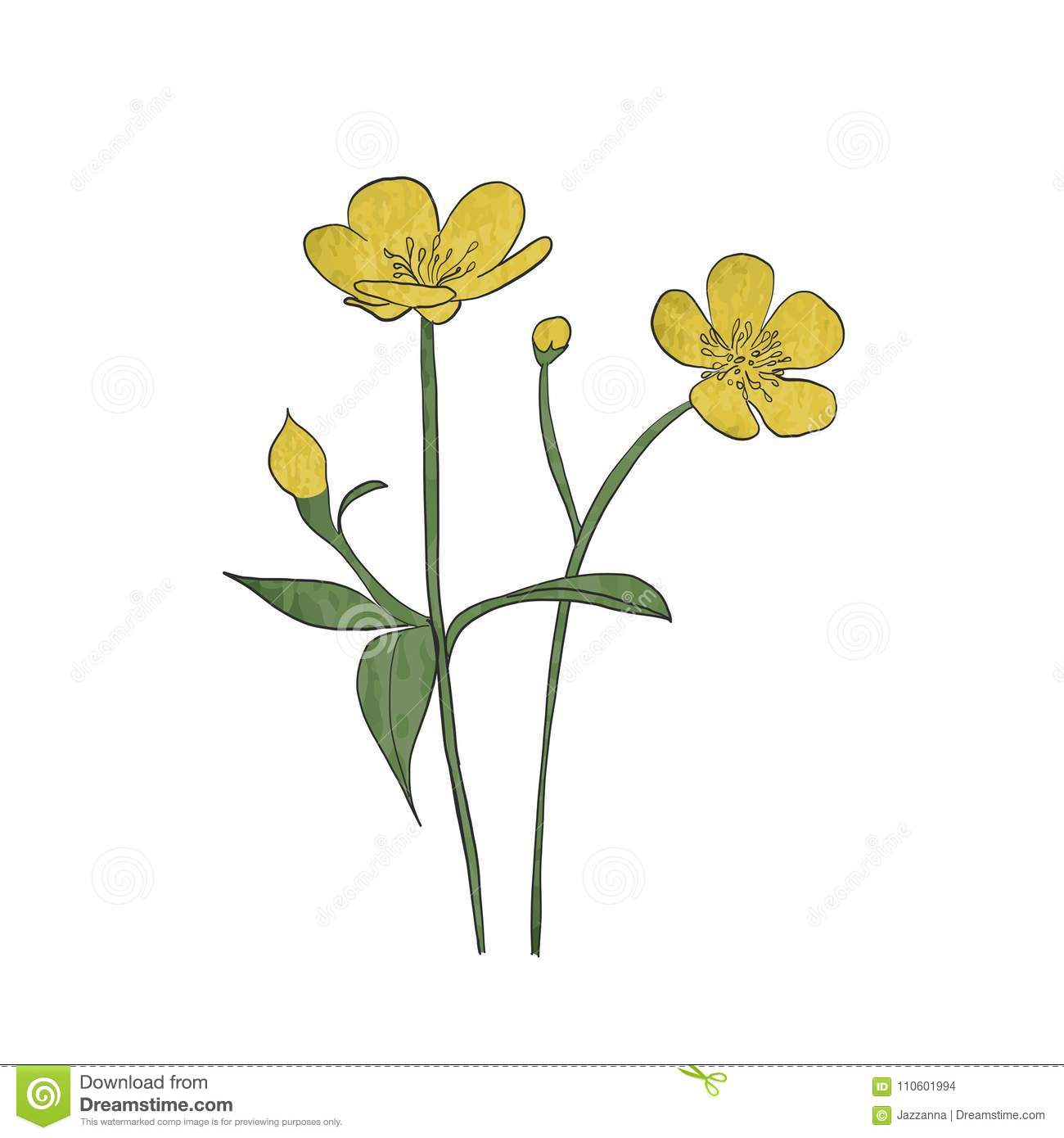 cac52c37de457 Hand Drawn Buttercup Flower Stock Vector - Illustration of botanical ...