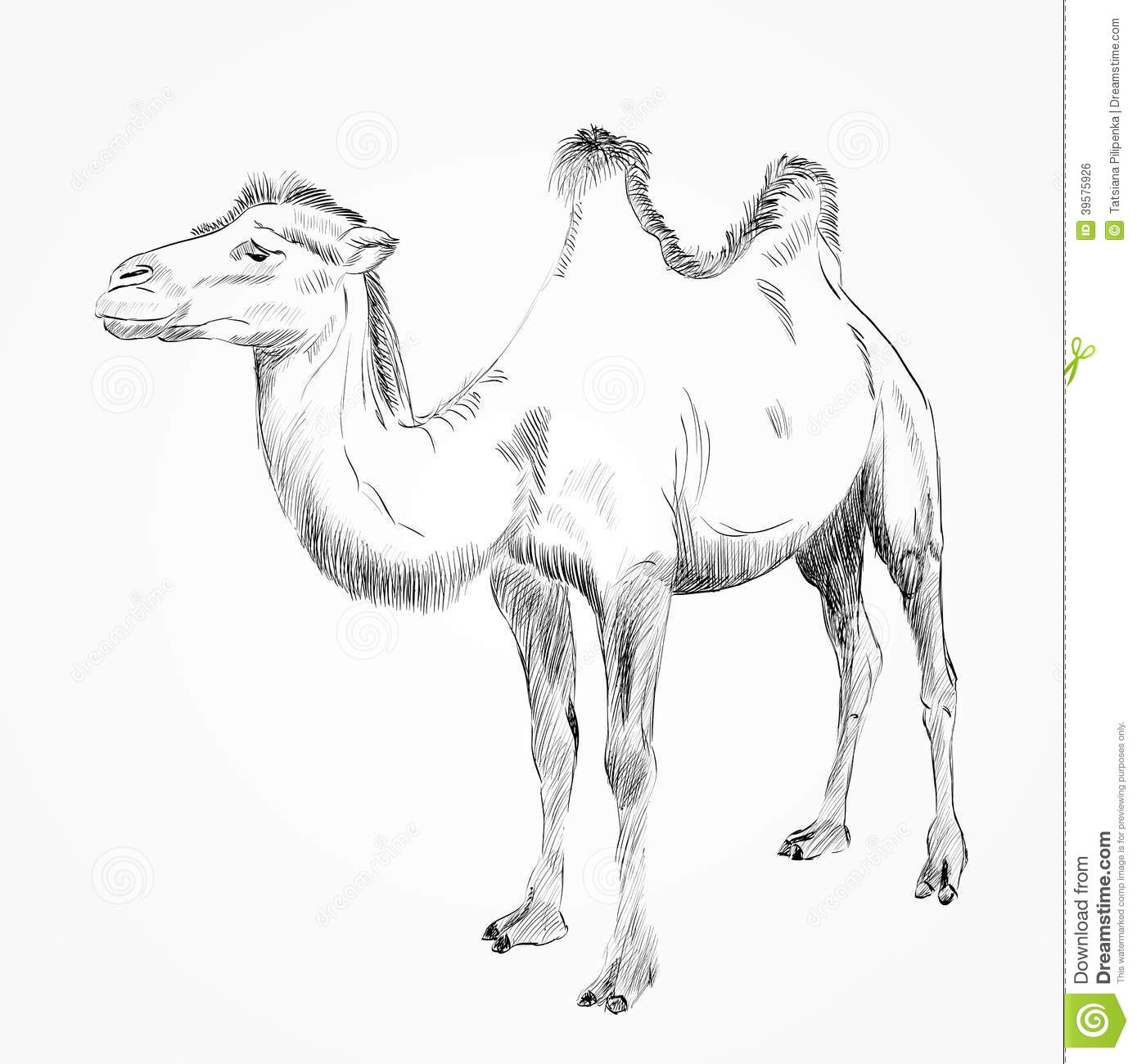 Hand drawn camel stock vector  Illustration of cute, design - 39575926