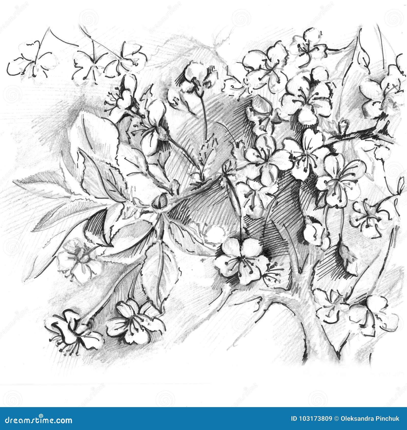 Hand drawn cherry blossom sketch sakura japan cherry stock