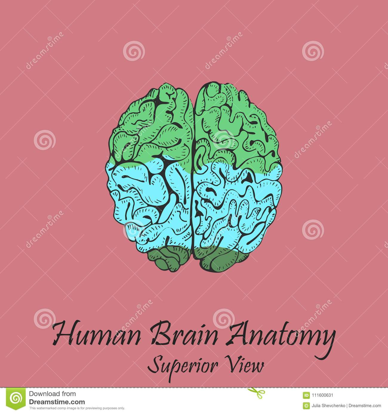 Hand Drawn Coloured Human Brain. Superior View Stock Vector ...