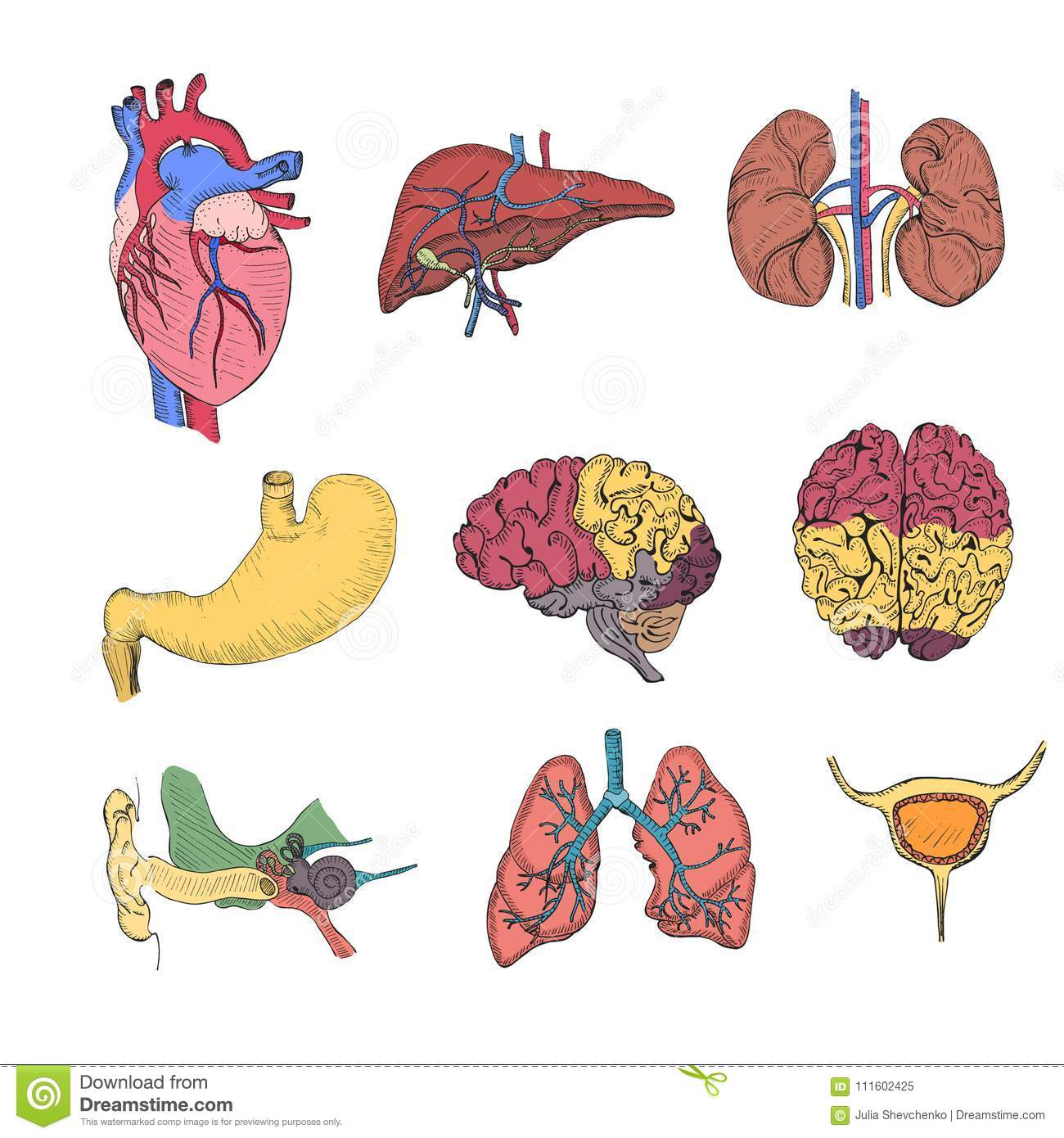 Hand Drawn Coloured Set With Human Organs Stock Vector