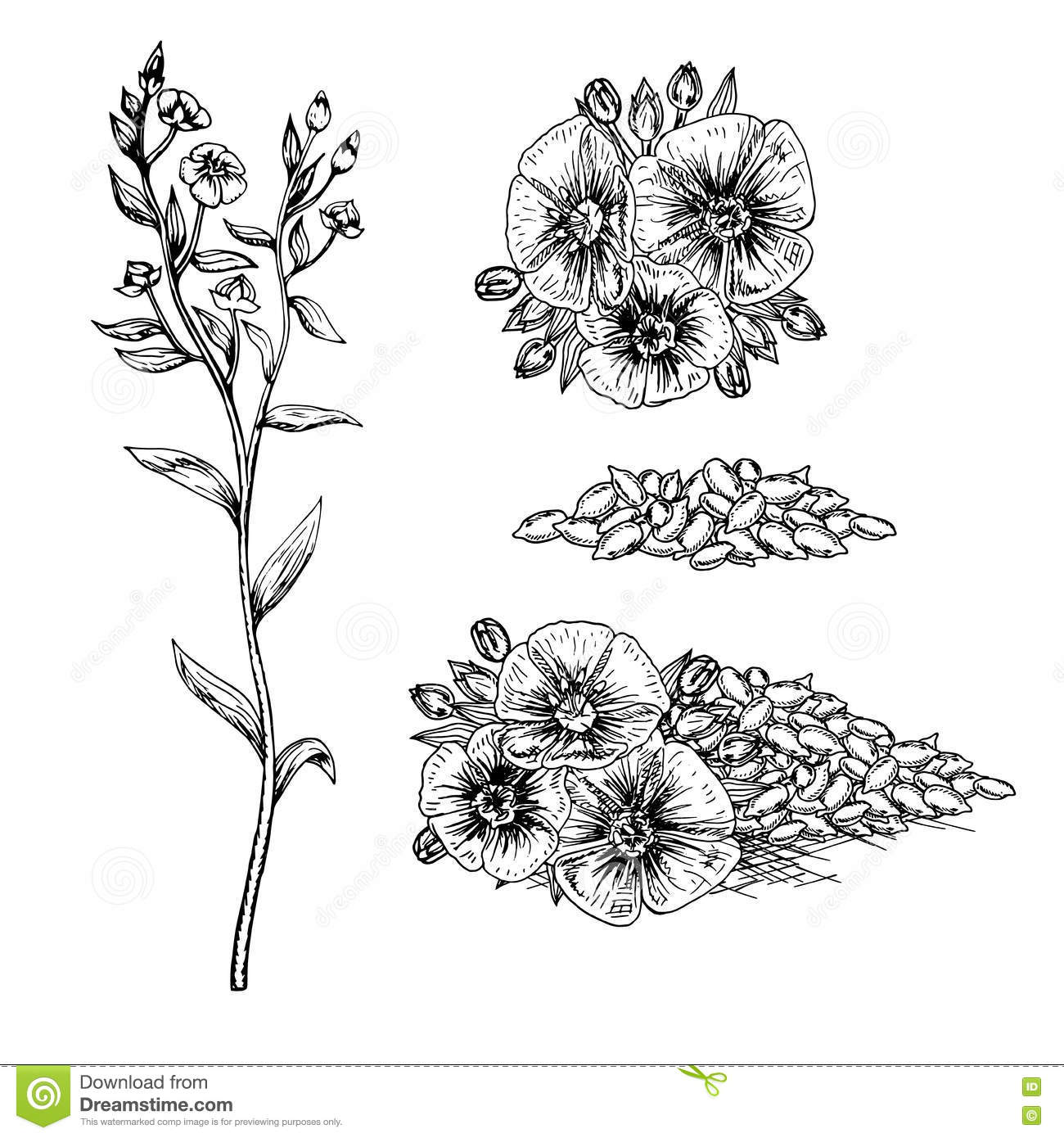 Hand Drawn Flax Flowers And Seeds Stock Vector Illustration Of