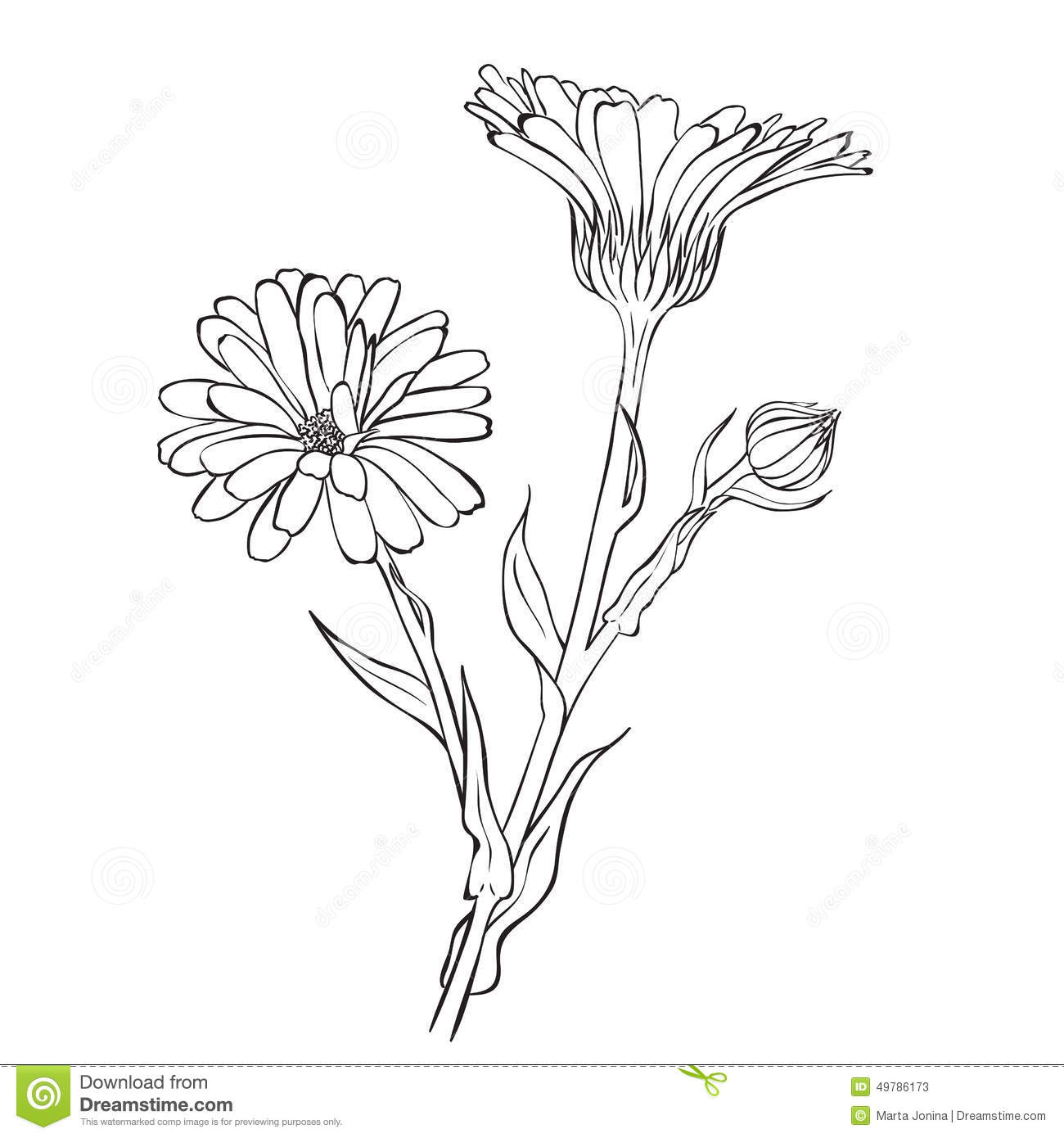 Hand Drawn Flowers - Calendula Officinalis Or Pot Marigold Stock Illustration - Illustration Of ...