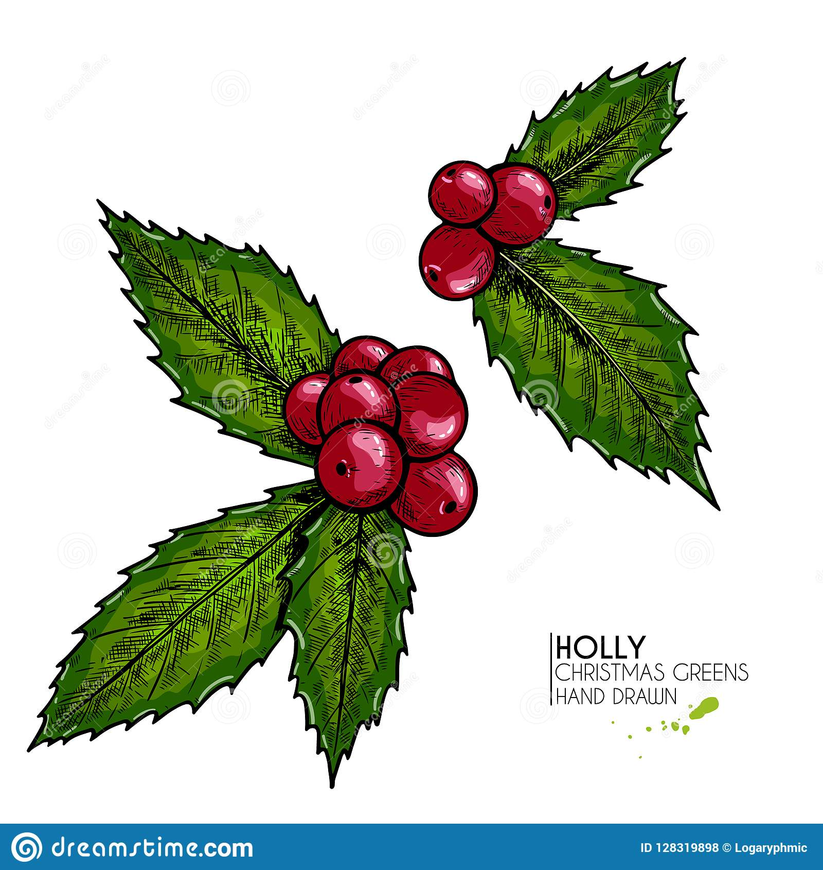 Hand drawn holly. Vector colored illustration. Christmas greenery. Engraved berries and leaves isolated on white