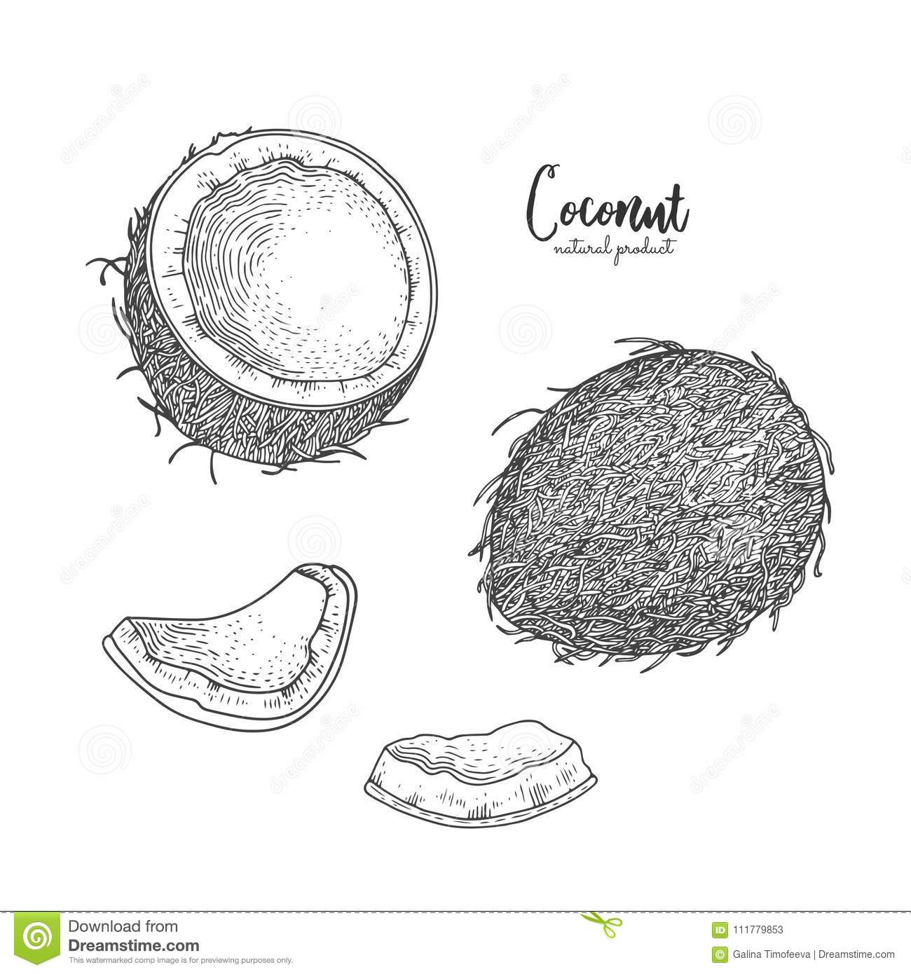 Hand drawn illustration of coconut isolated on white background. Engraved art. Tropical vegetarian objects. Use for