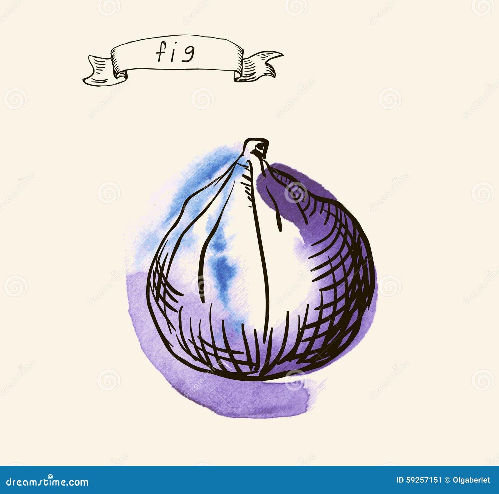 Hand drawn illustration of fig