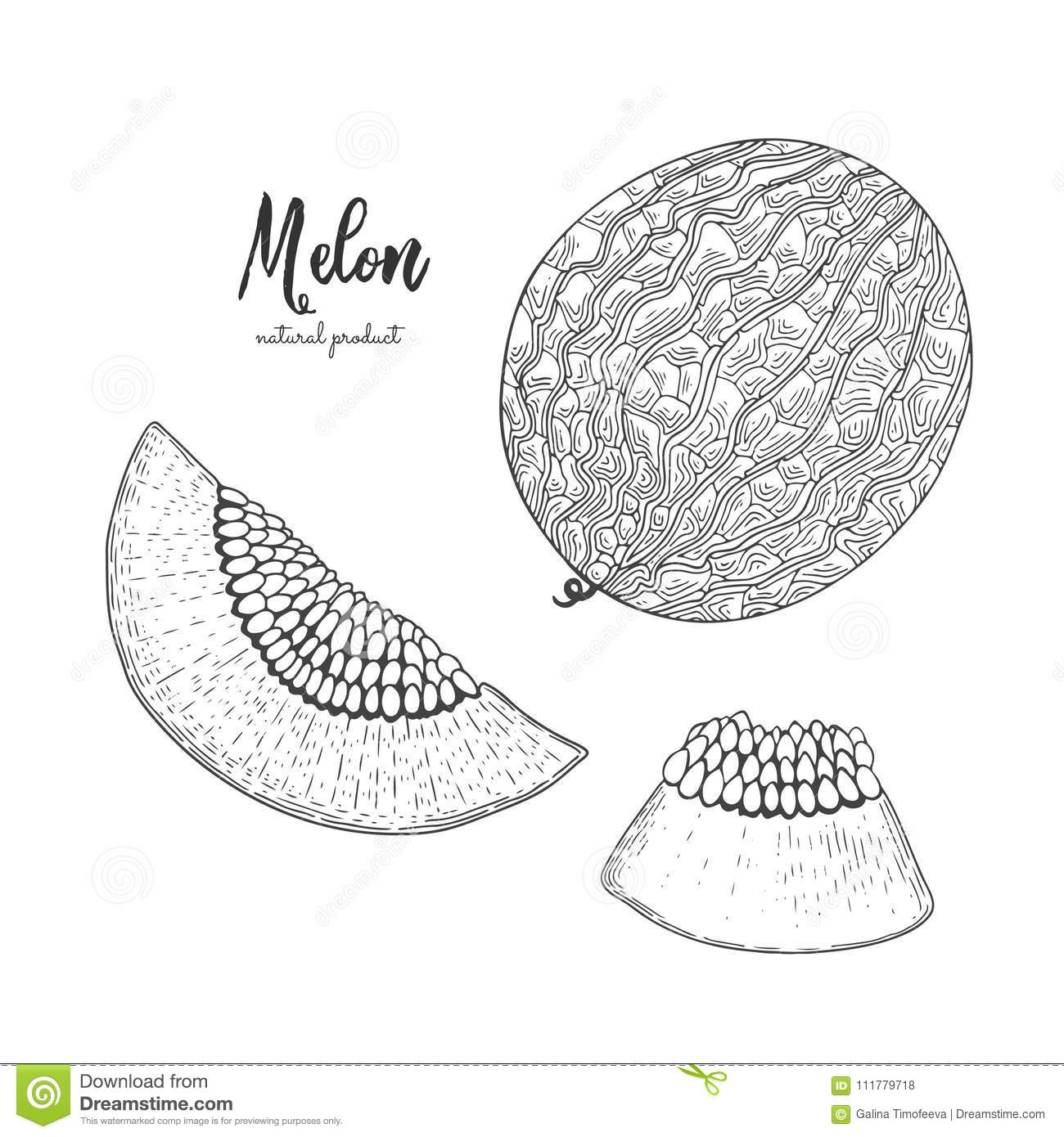 Hand drawn illustration of melon isolated on white background. Engraved style illustration. Detailed vegetarian food