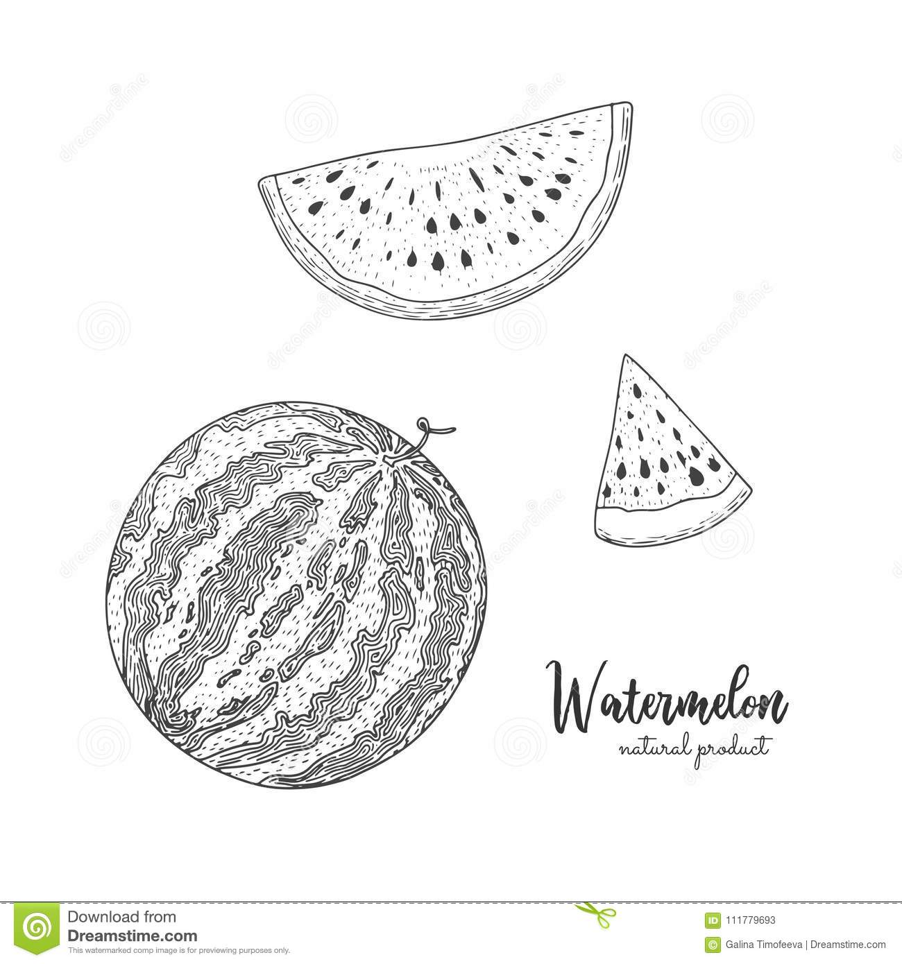 Hand drawn illustration of watermelon isolated on white background. Engraved style illustration. Detailed vegetarian