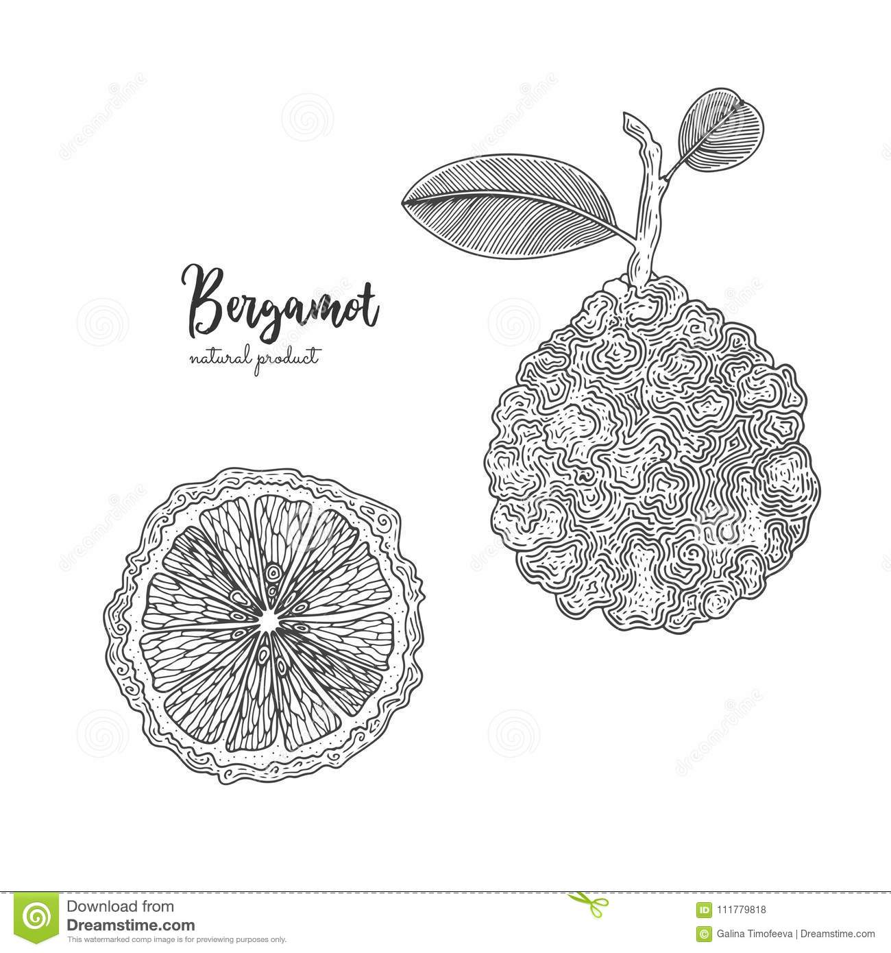 Hand drawn illustrations of bergamot isolated on white background. Hand drawn elements for menu, promotion, advertising