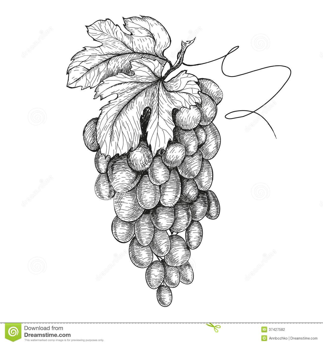 Hand Drawn Illustrations Of Grapes Stock Photography Image 37427582