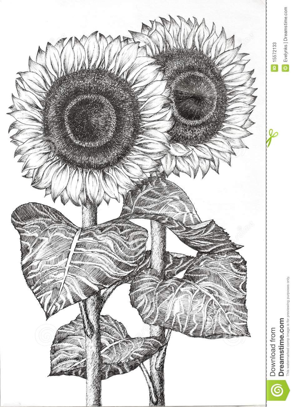 hand drawn image of two sunflowers stock illustration