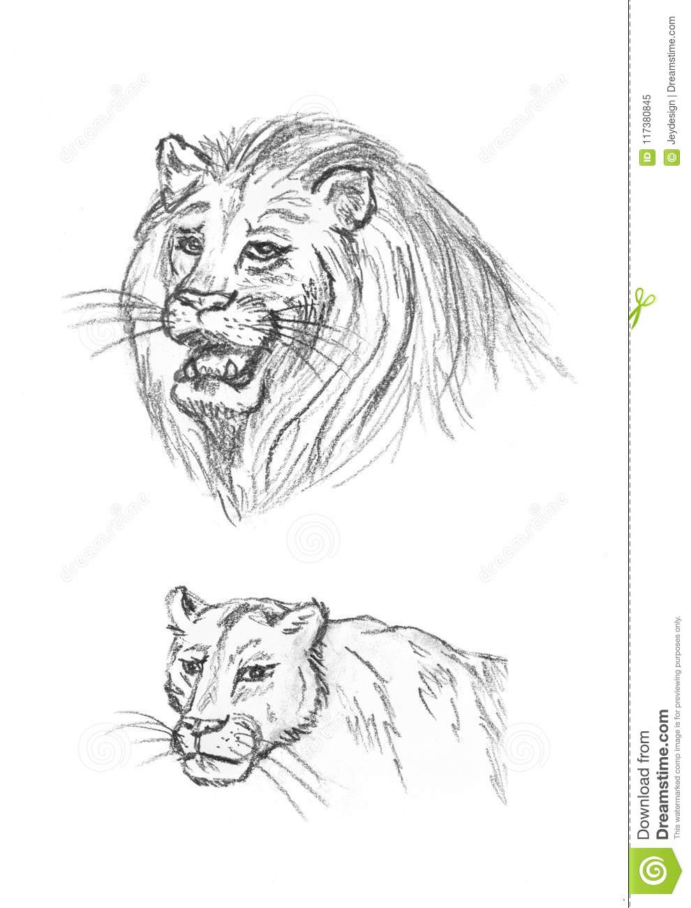Hand drawn of lion and lioness male and female isolated on white background pencil drawing
