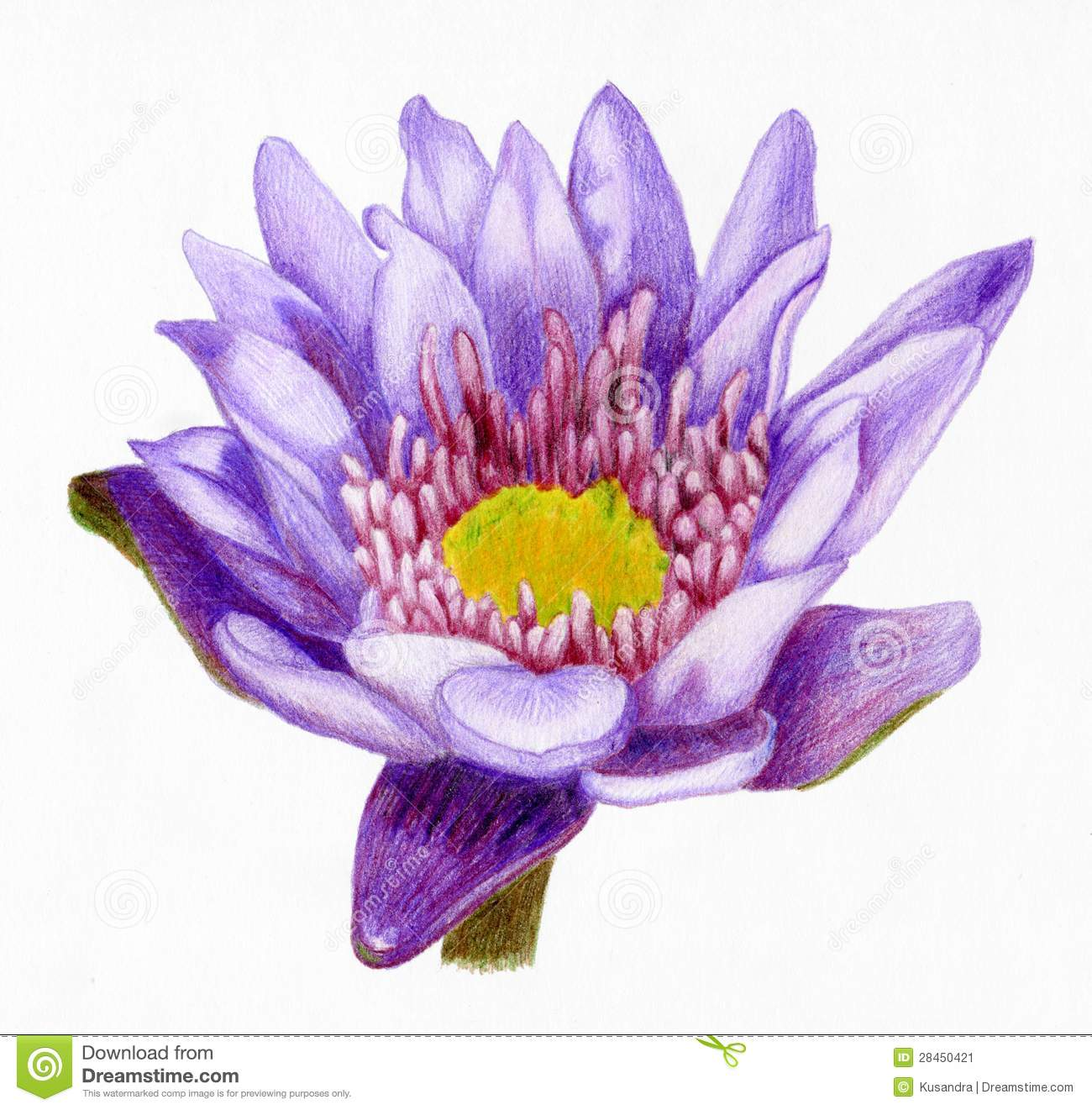 Lotus Flower Drawing Color Amazing Wallpapers