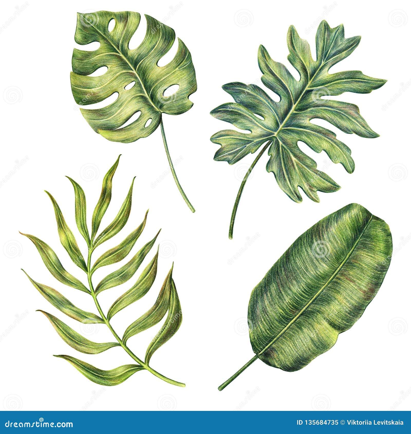 Hand drawn monstera, banana and areca palm leaves