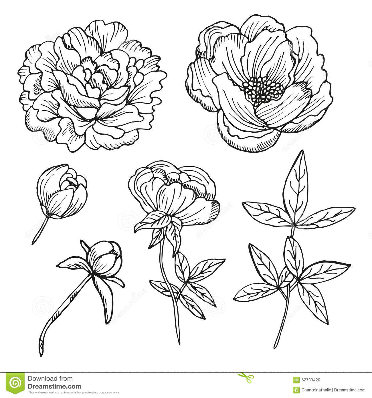 Peony Flower Line Drawing : Hand drawn peonies set stock vector image