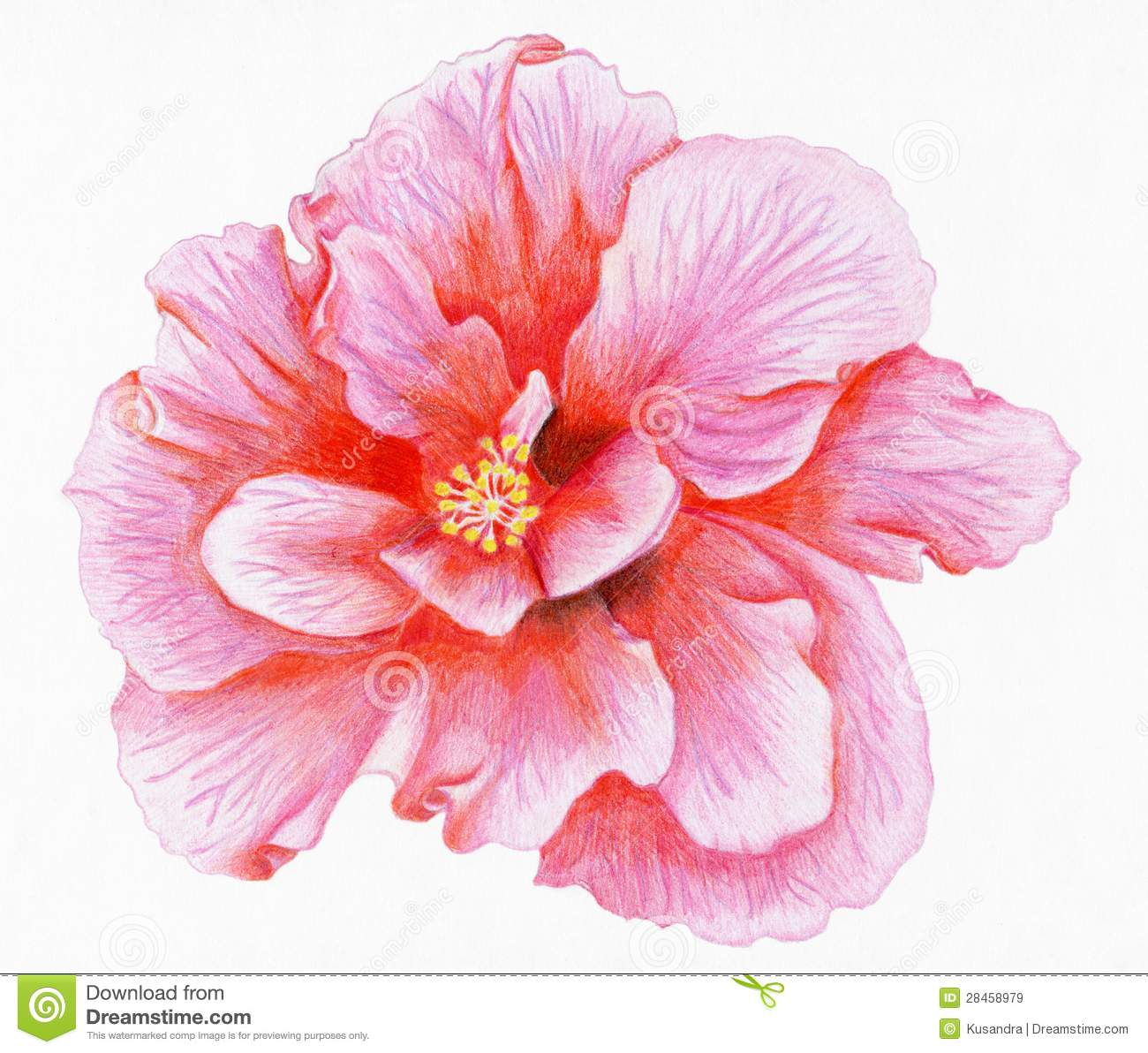 Pink Hibiscus Plant Drawing | www.pixshark.com - Images ...