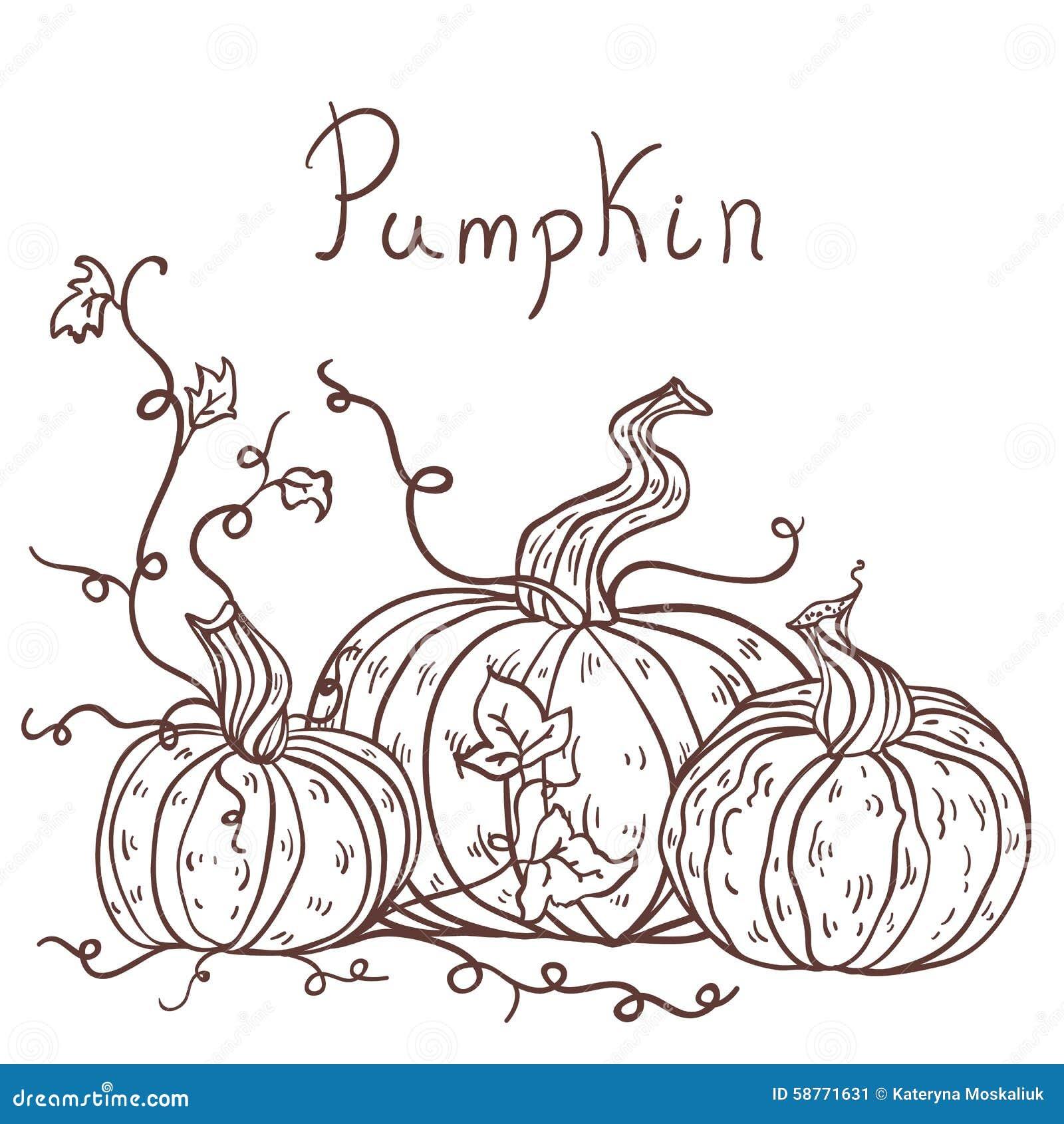Contour Line Drawing Pumpkin : Hand drawn pumpkins stock vector image