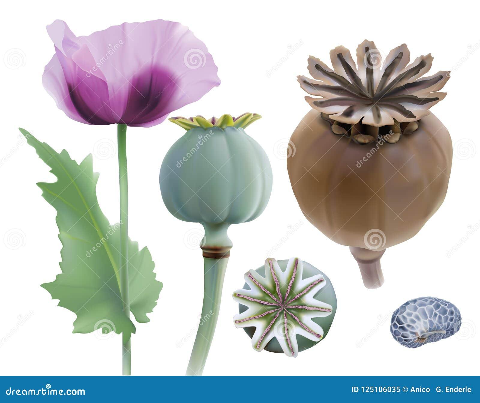 Opium Poppy Papaver Somniferum Stock Vector Illustration Of