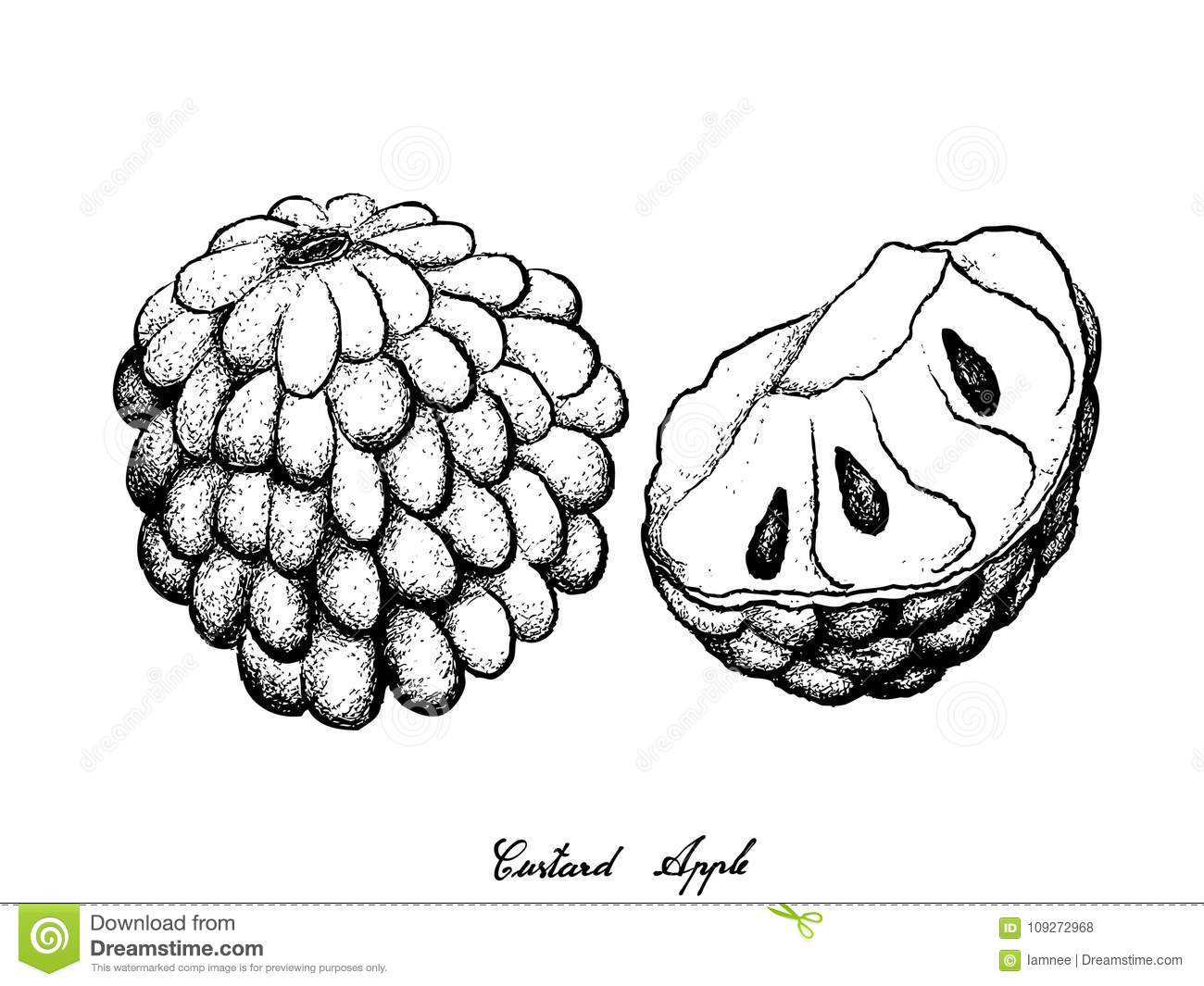 Hand Drawn Of Ripe Custard Apple On White Background Stock Vector ... for Custard Apple Clipart Black And White  150ifm